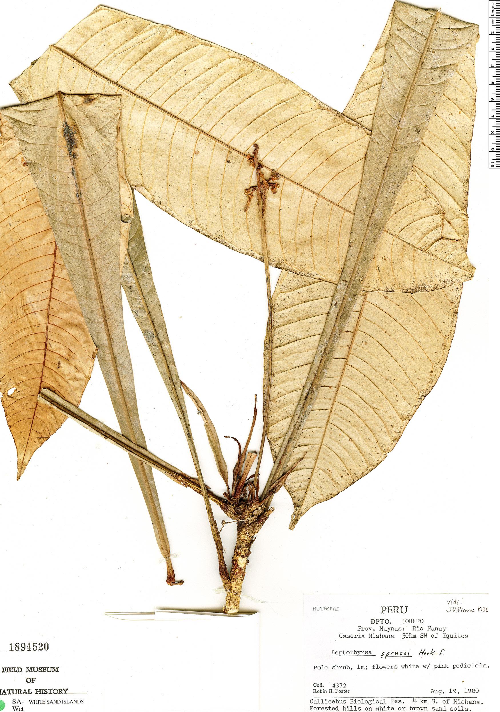 Espécime: Leptothyrsa sprucei