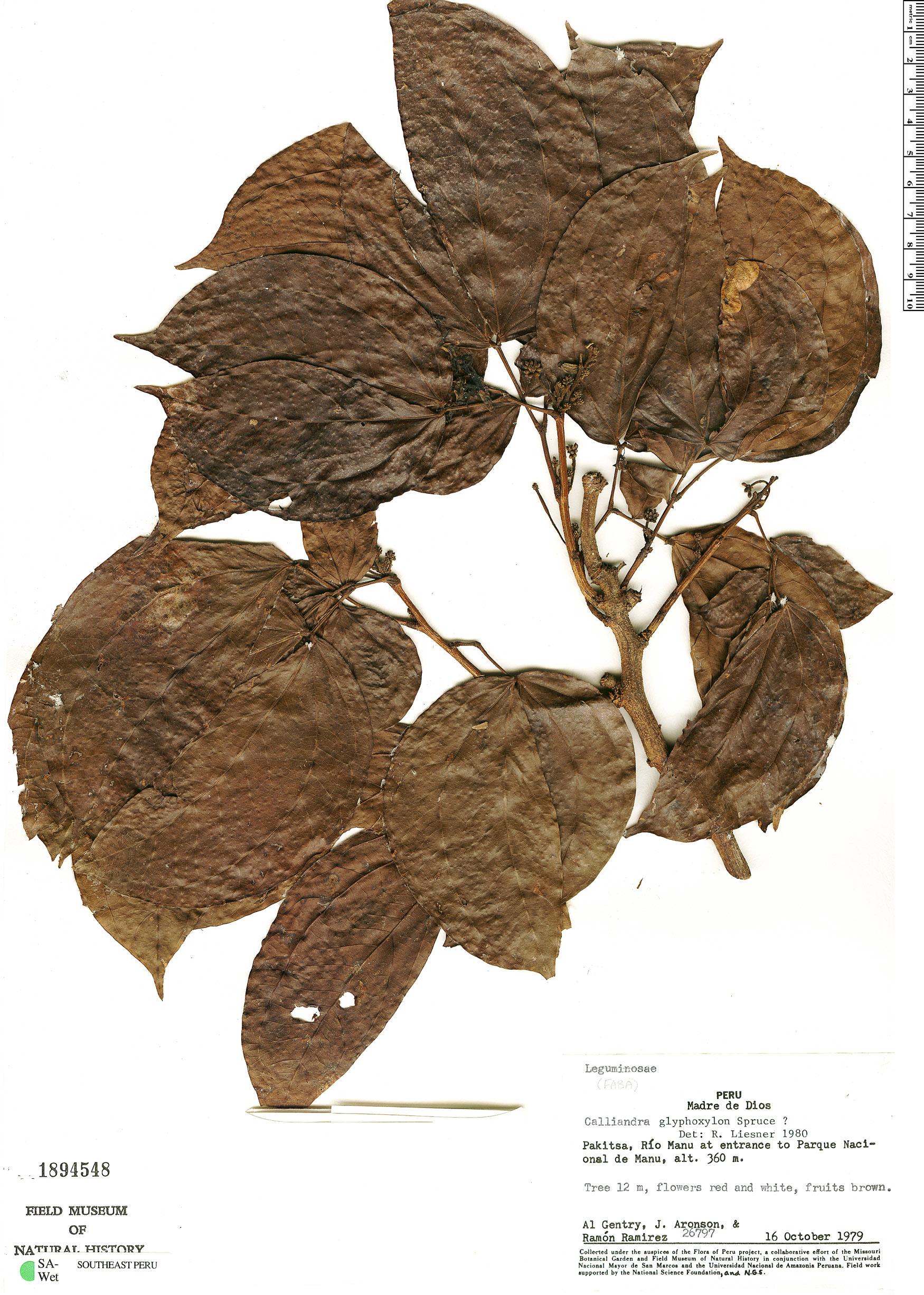 Specimen: Calliandra glyphoxylon
