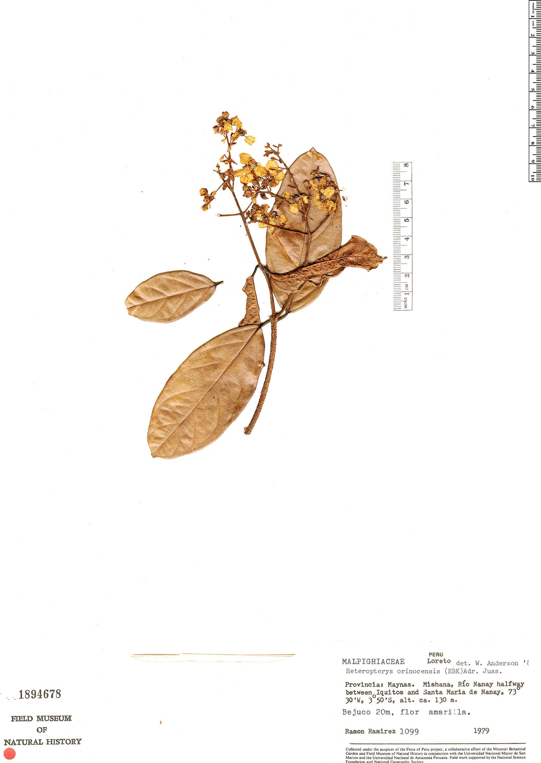 Specimen: Heteropterys orinocensis