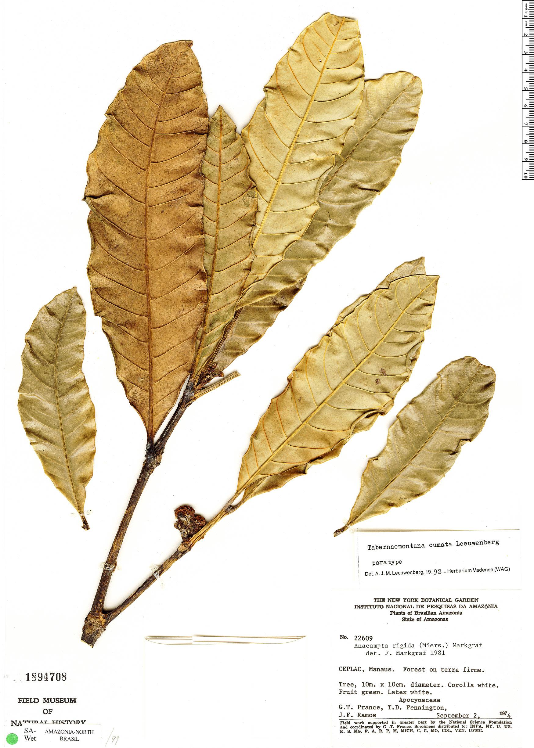 Specimen: Tabernaemontana cumata
