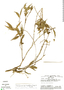 Faramea quinqueflora Poepp. & Endl., Peru, A. H. Gentry 27292, F