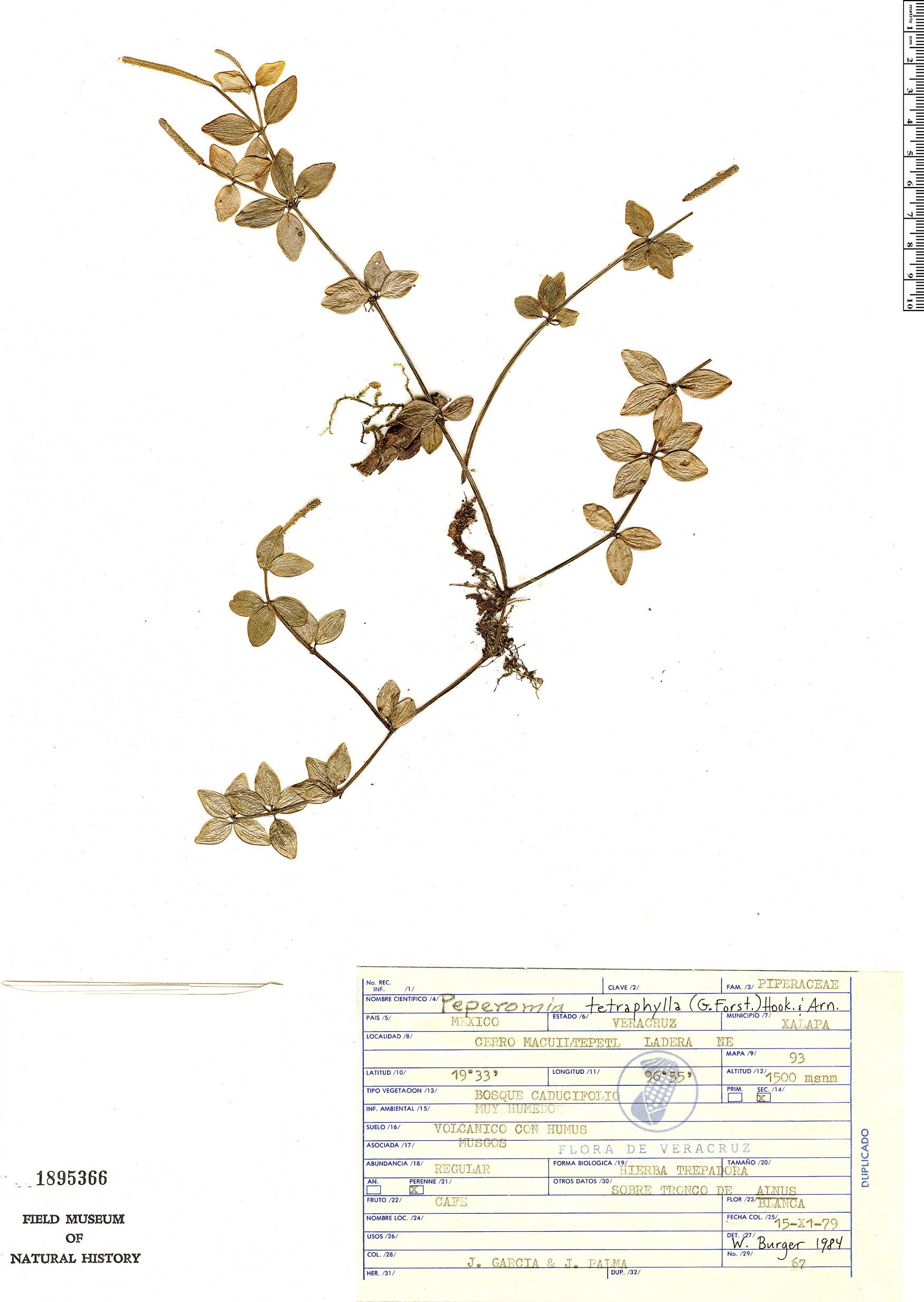 Specimen: Peperomia tetraphylla