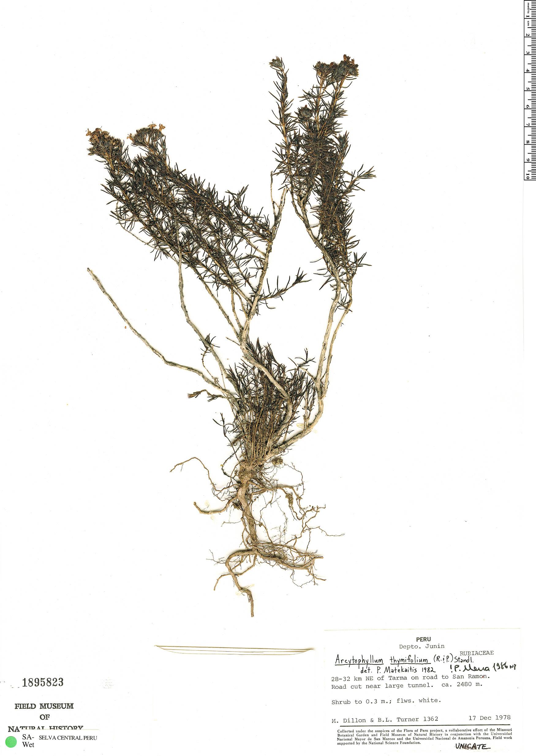 Specimen: Arcytophyllum thymifolium