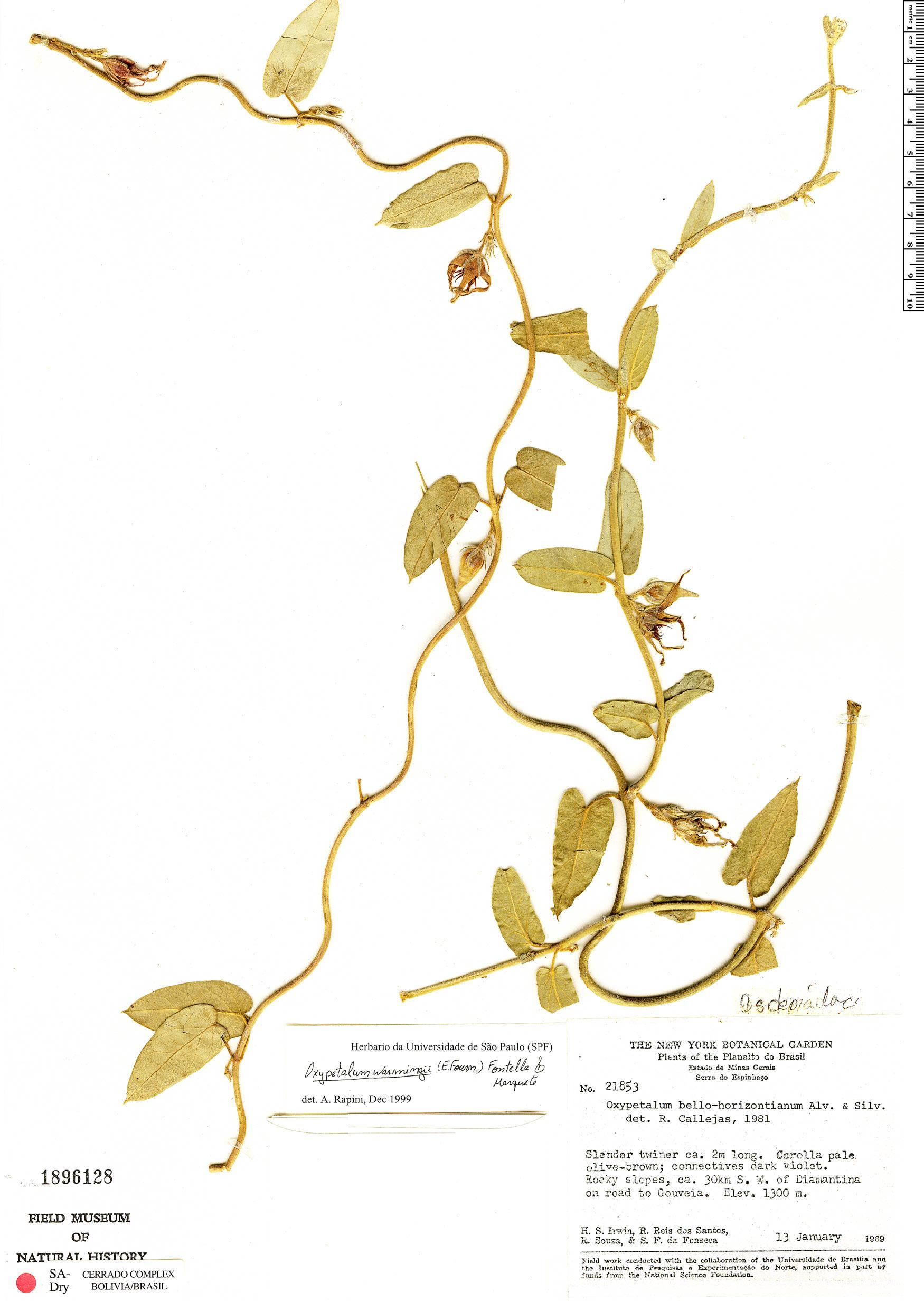 Specimen: Oxypetalum warmingii