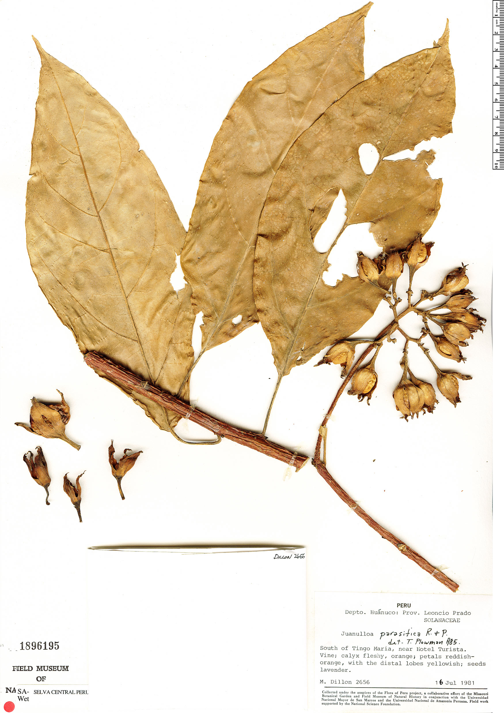 Espécimen: Juanulloa parasitica
