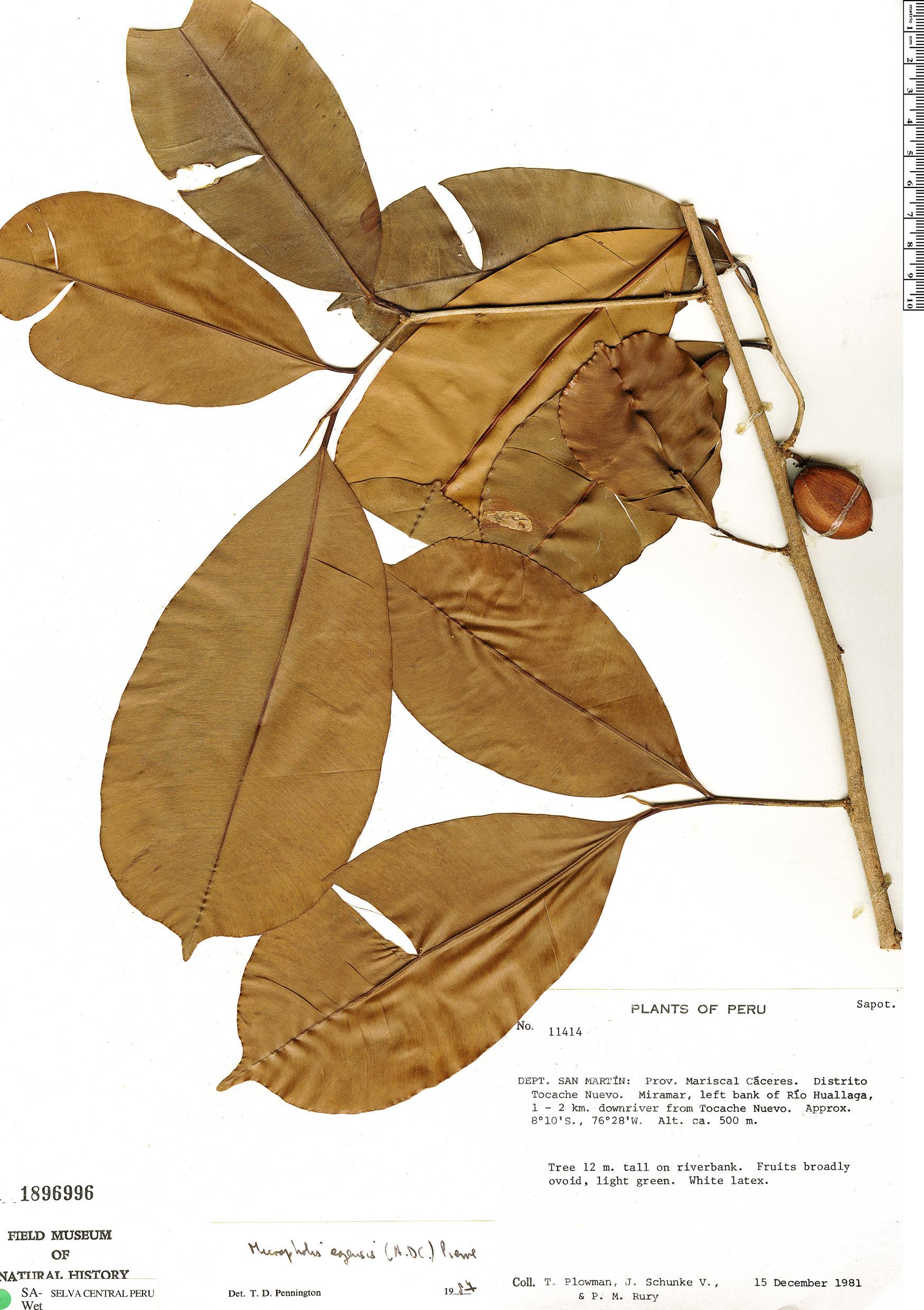 Specimen: Micropholis egensis