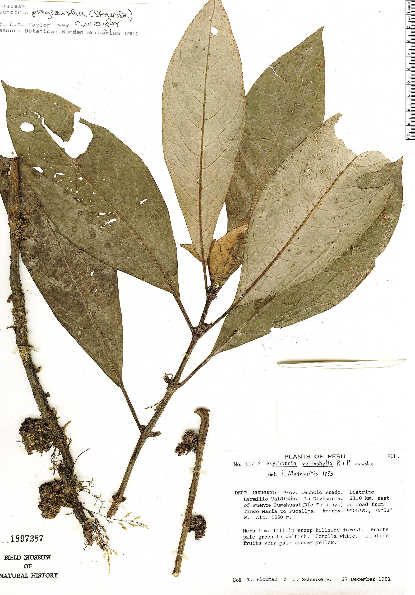 Specimen: Notopleura plagiantha