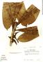 Ficus caballina Standl., Peru, T. C. Plowman 11200, F