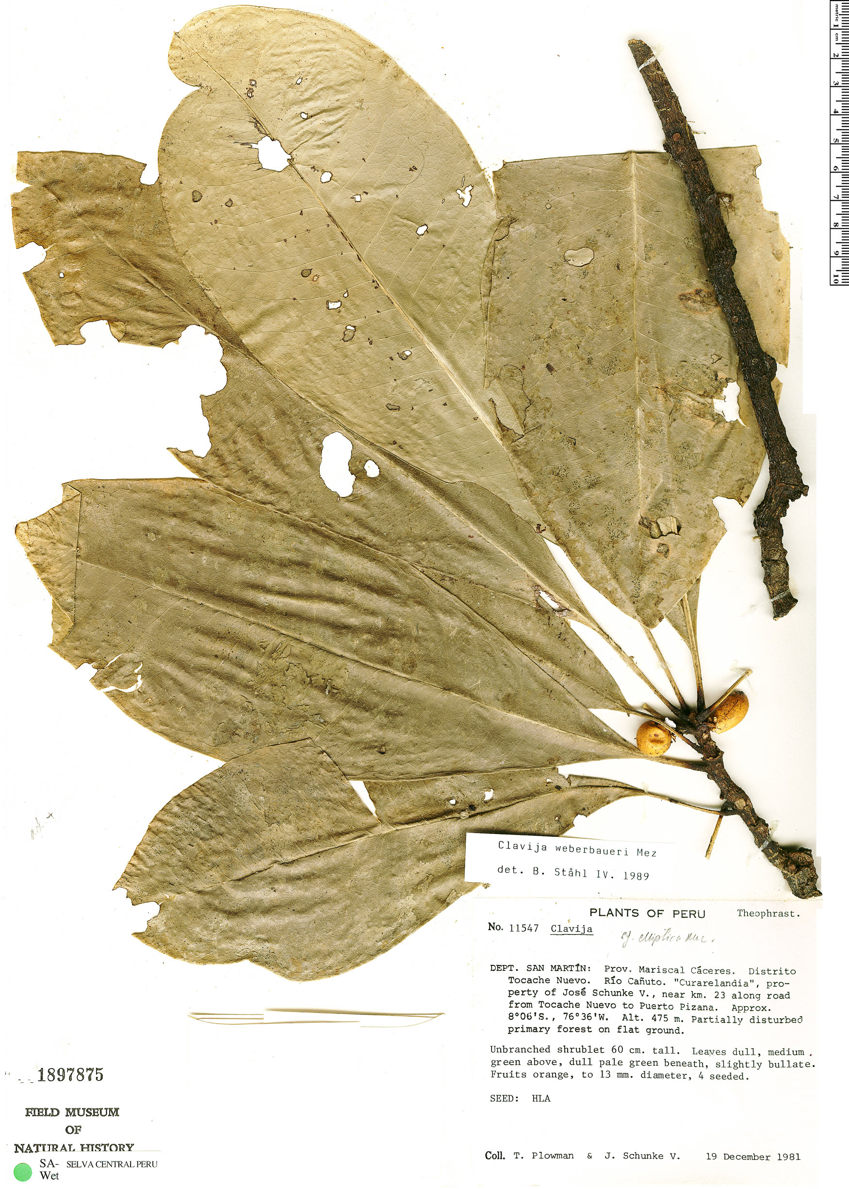 Espécimen: Clavija weberbaueri