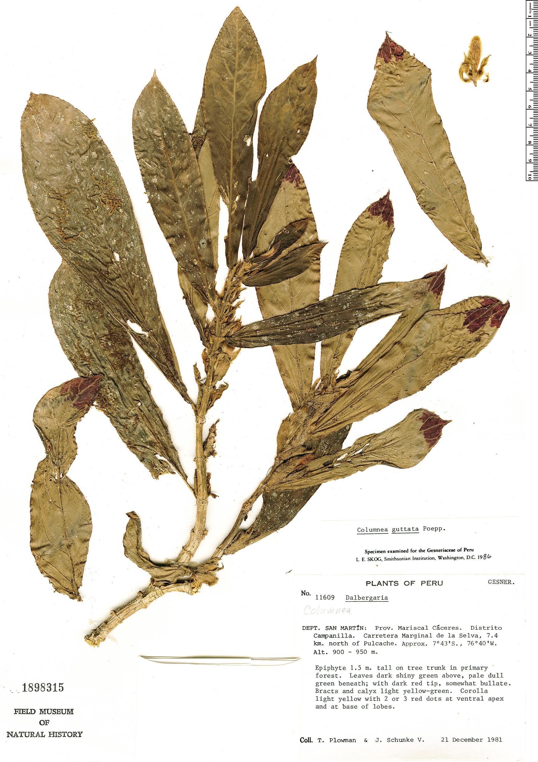 Specimen: Columnea guttata