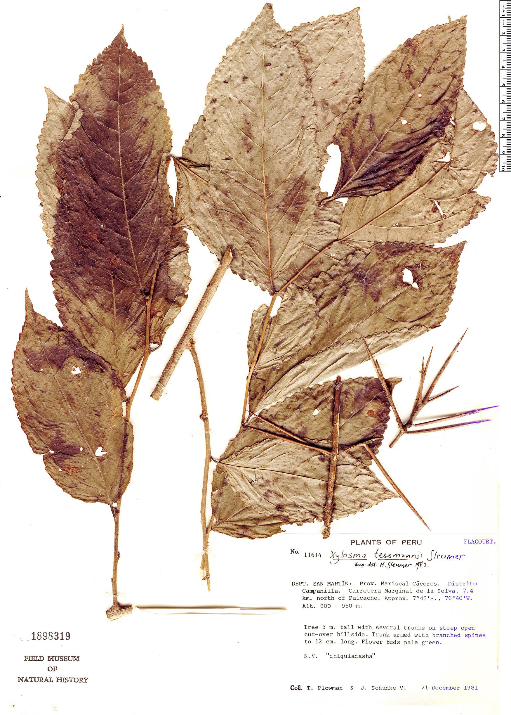 Specimen: Xylosma tessmannii
