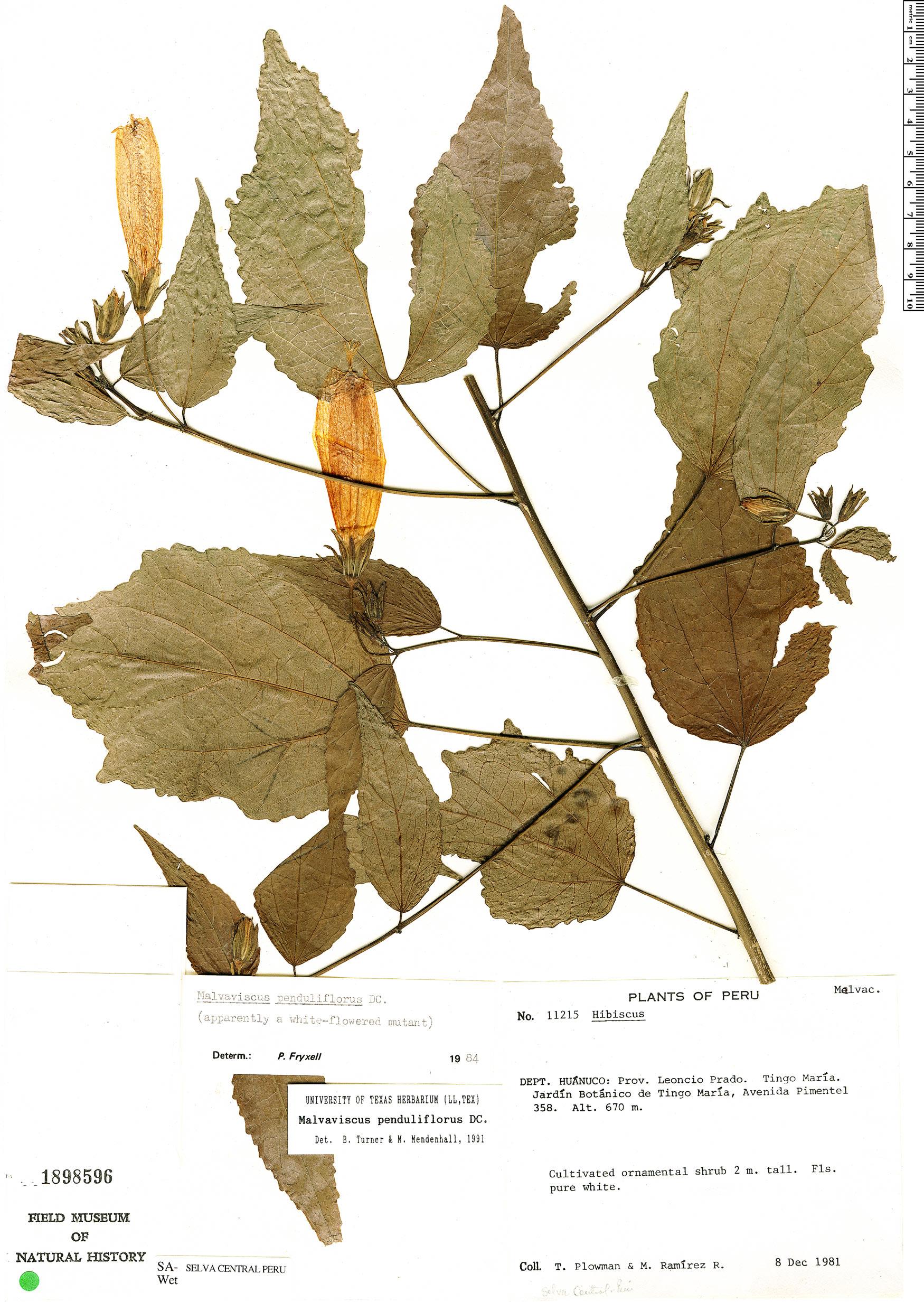 Specimen: Malvaviscus penduliflorus