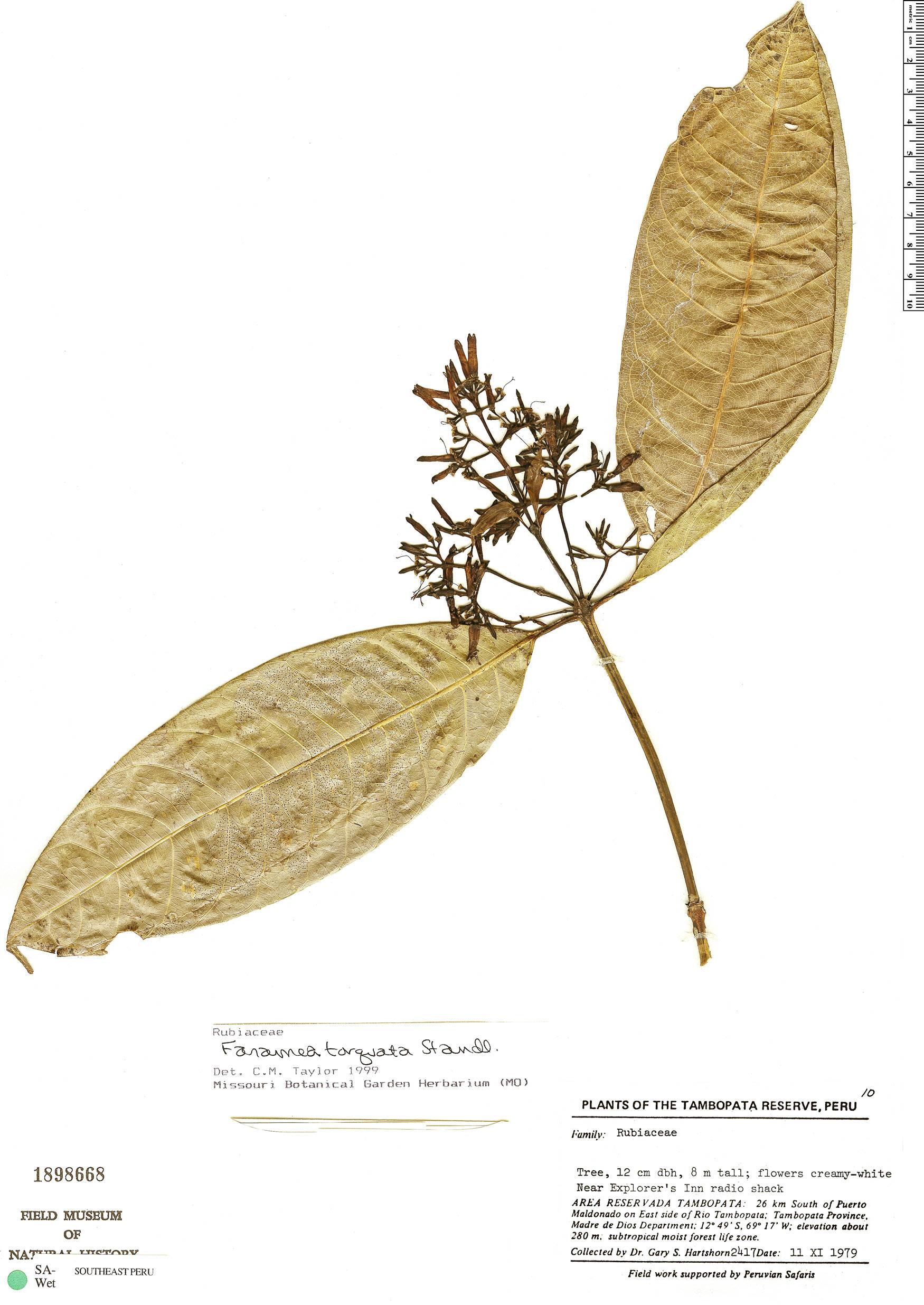 Espécimen: Faramea torquata