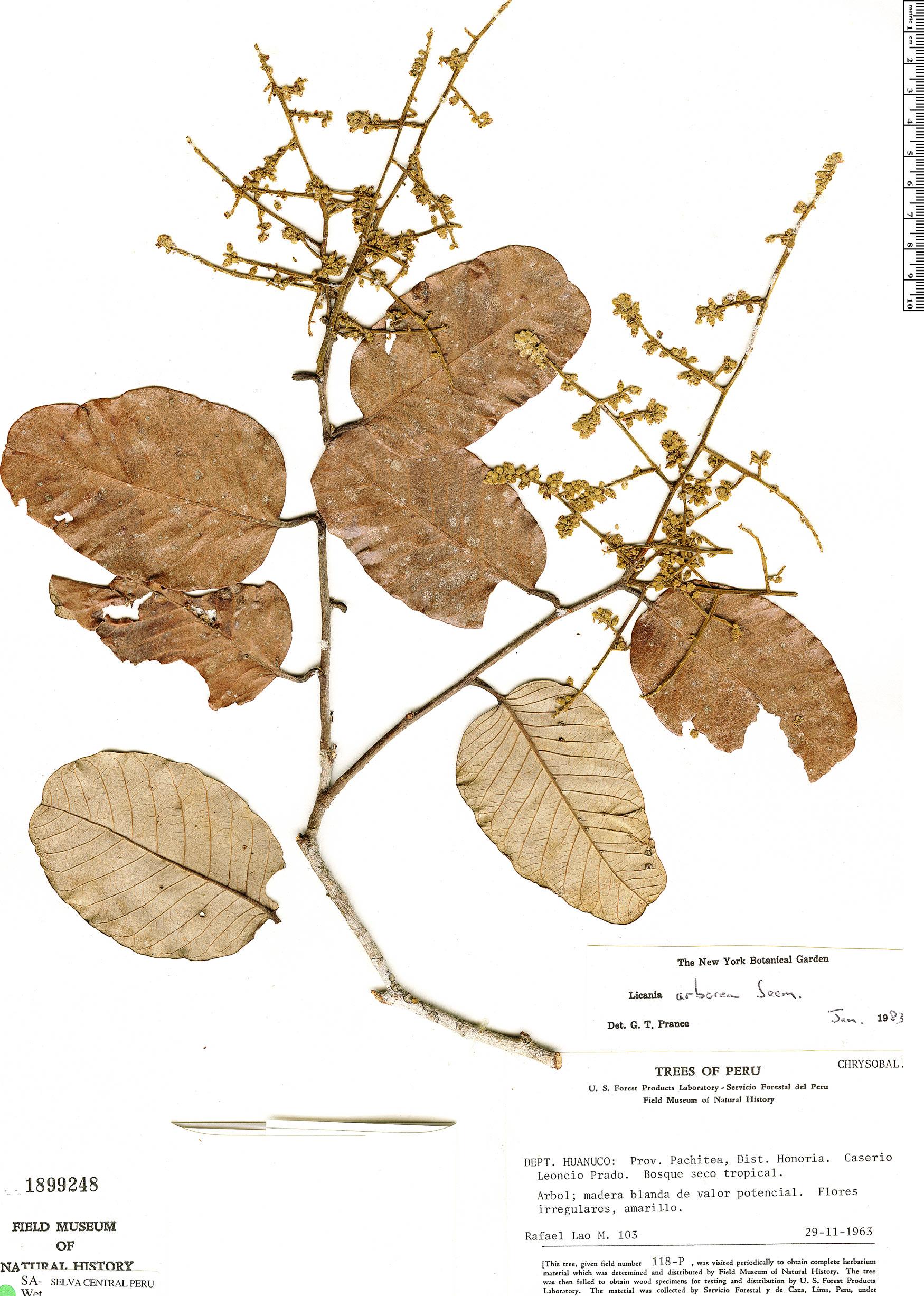 Specimen: Licania arborea