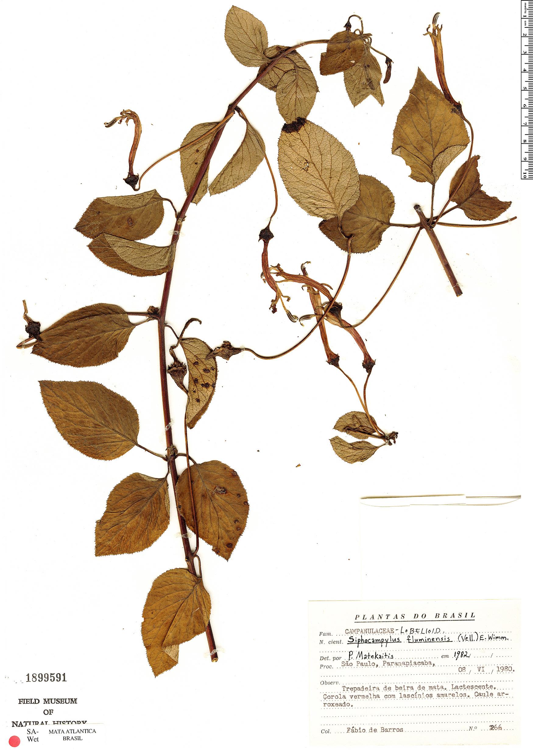Specimen: Siphocampylus fluminensis
