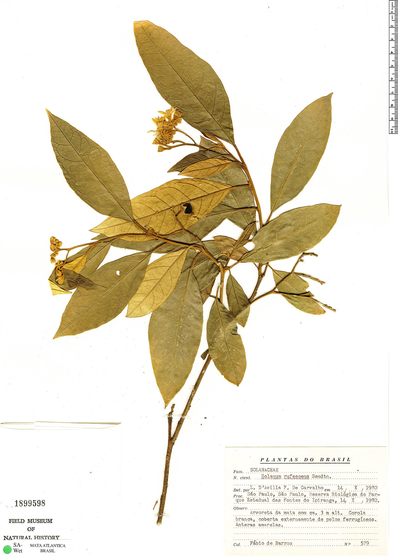 Specimen: Solanum rufescens