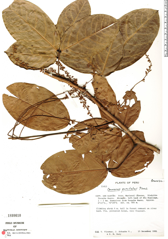 Specimen: Connarus punctatus