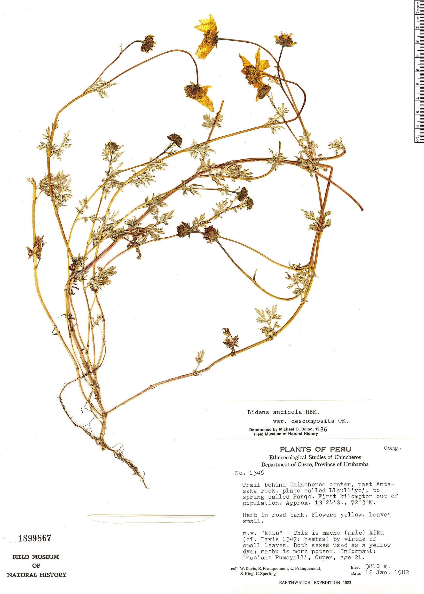 Specimen: Bidens andicola
