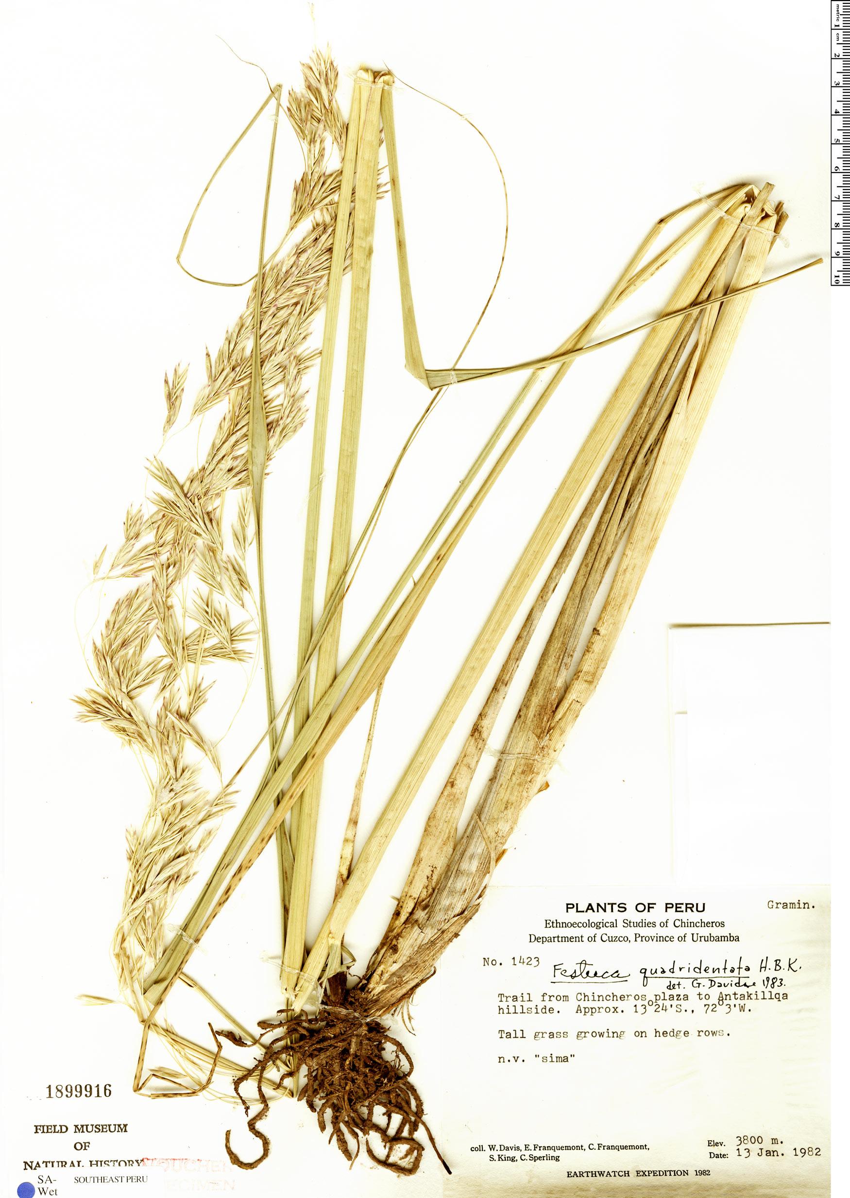 Specimen: Festuca urubambana