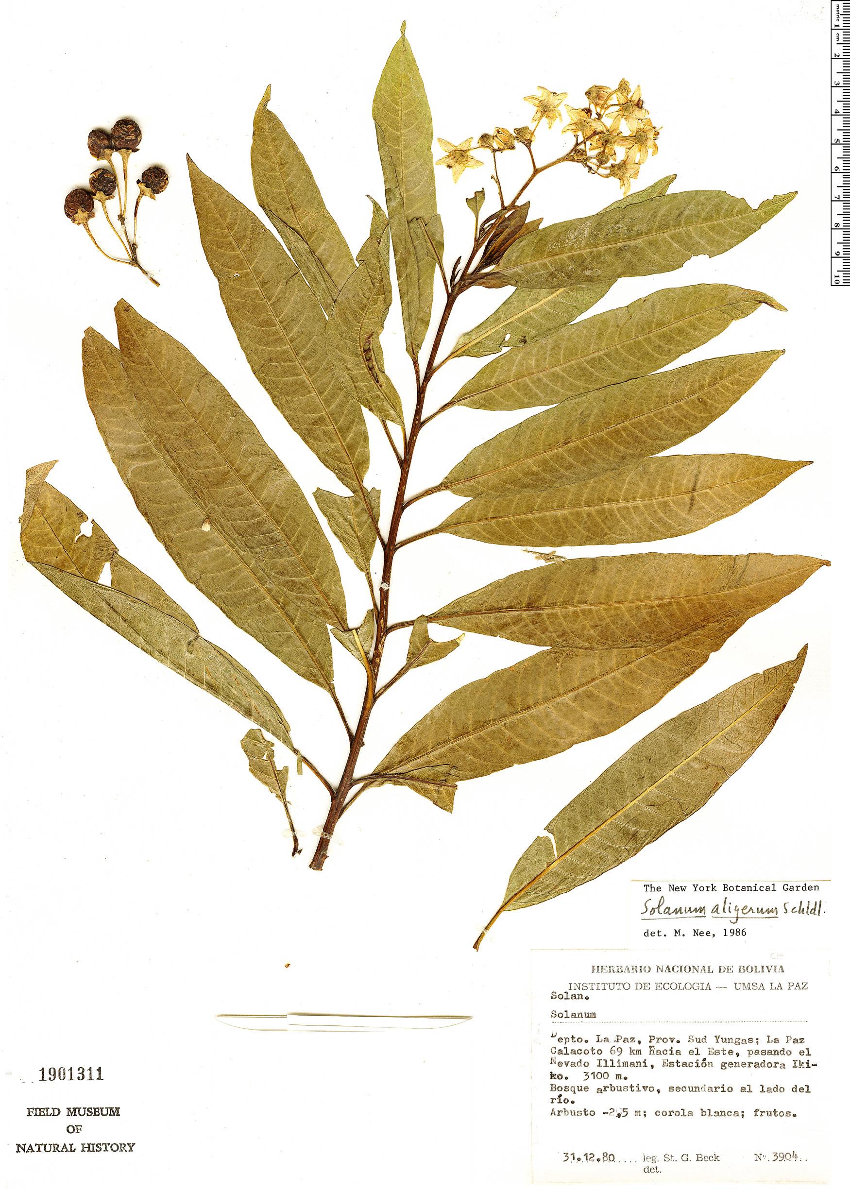 Espécimen: Solanum aligerum