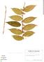 Clidemia dimorphica J. F. Macbr., Ecuador, G. W. Harling 7064, F