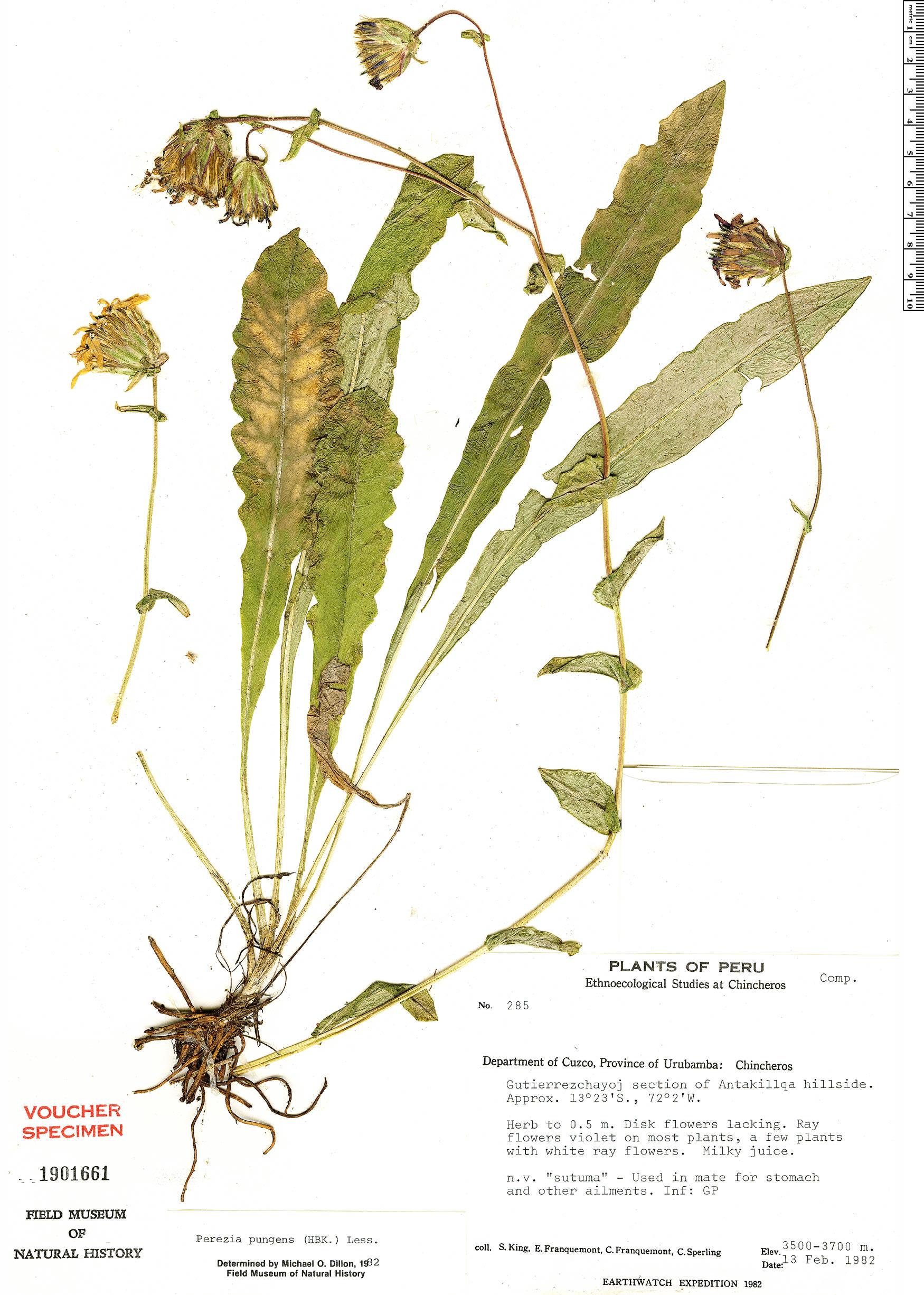 Specimen: Perezia pungens
