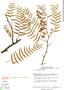 Schinus areira image
