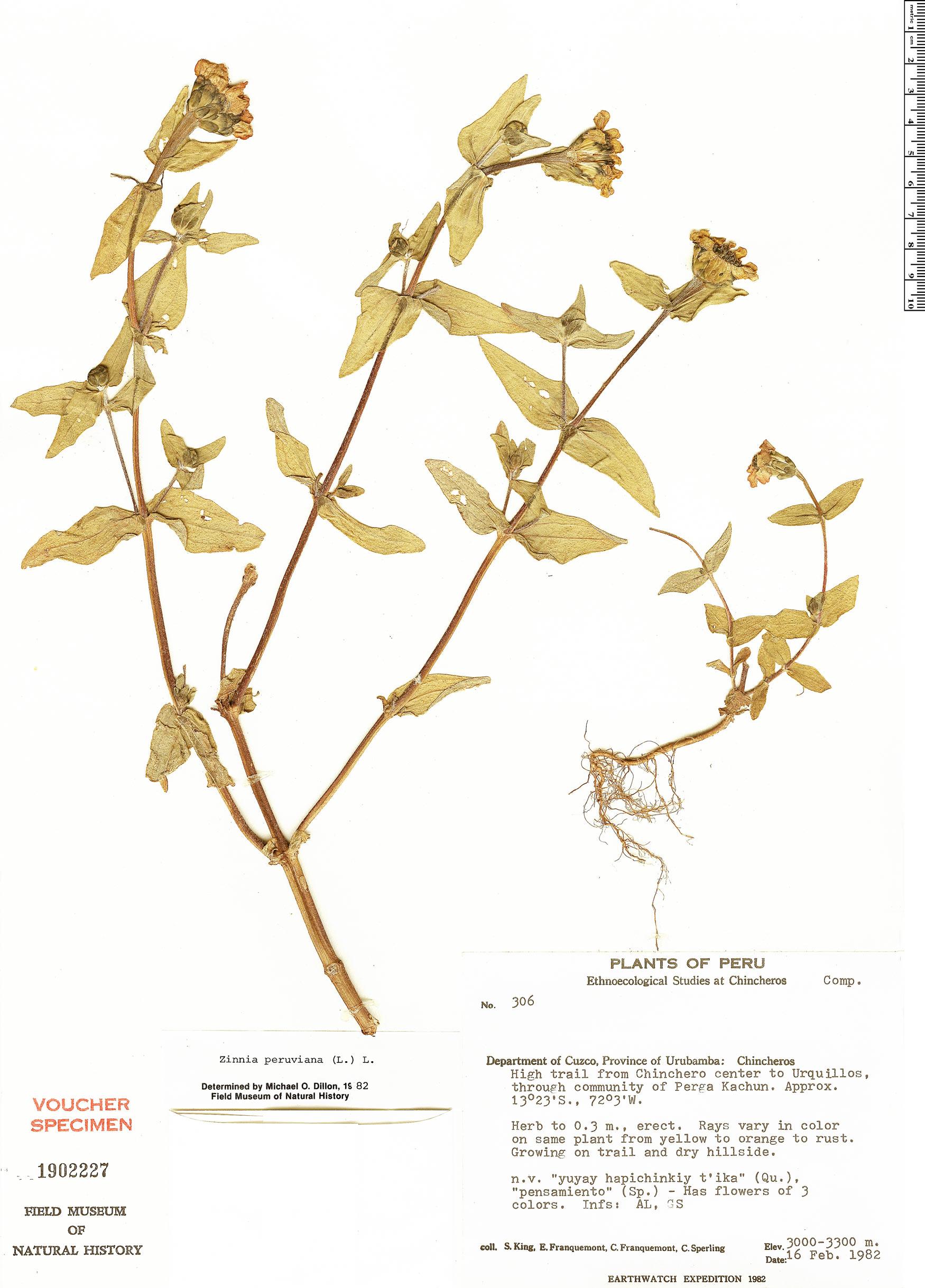 Specimen: Zinnia peruviana