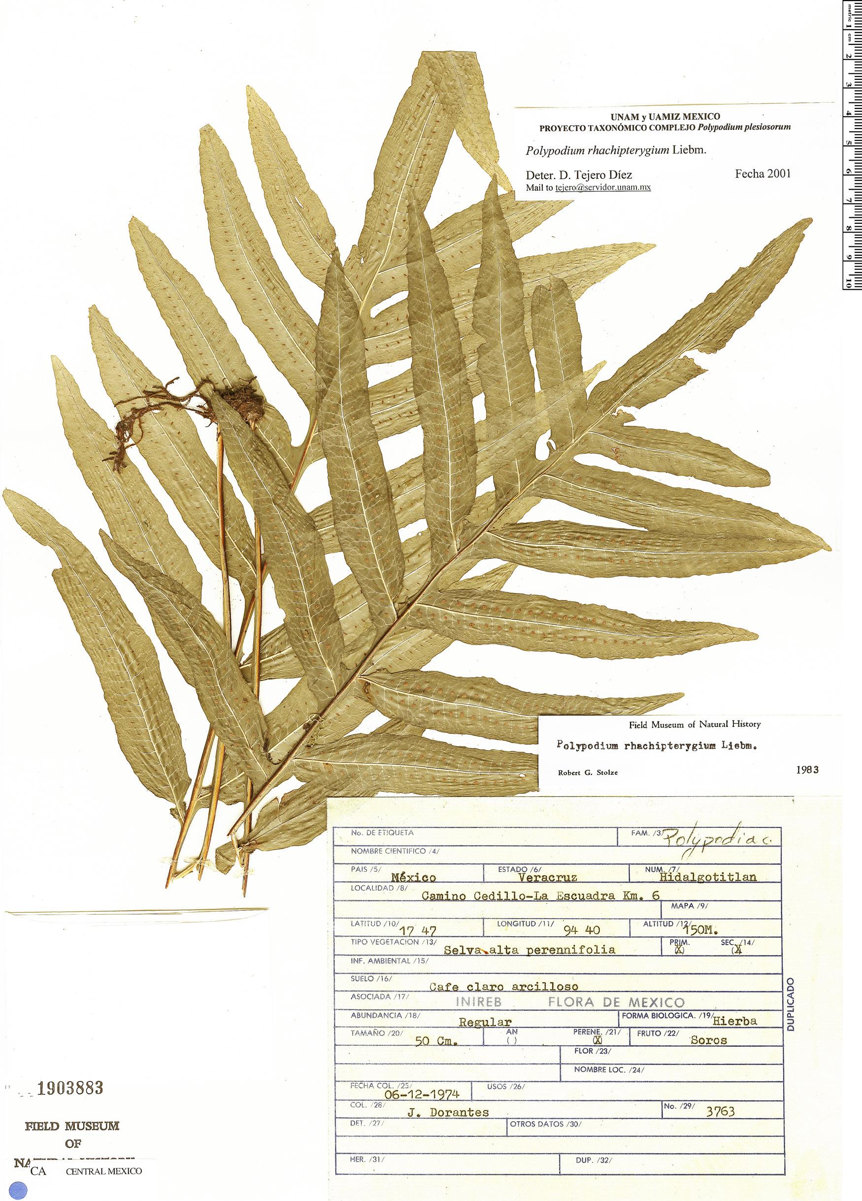 Specimen: Polypodium rhachipterygium