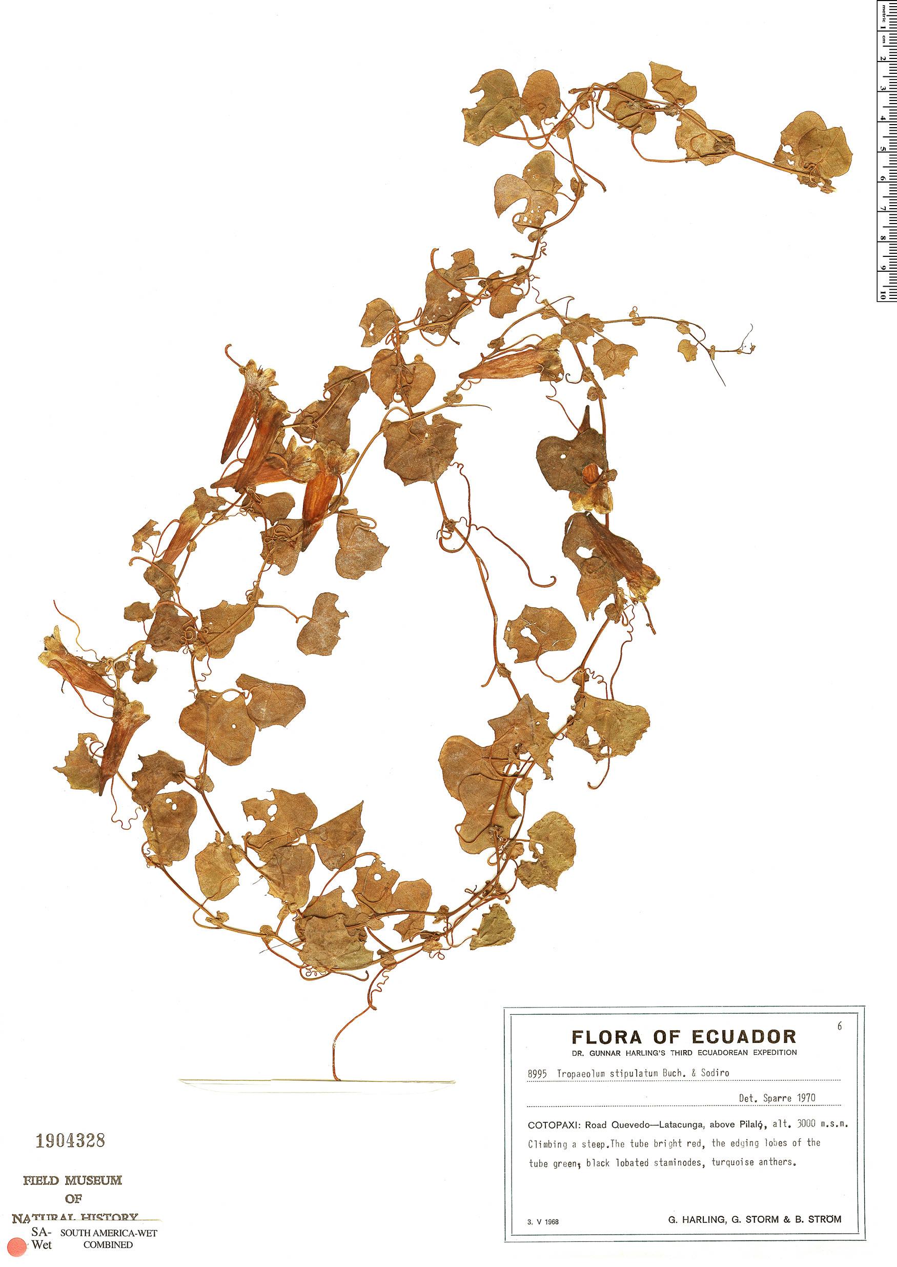 Specimen: Tropaeolum stipulatum