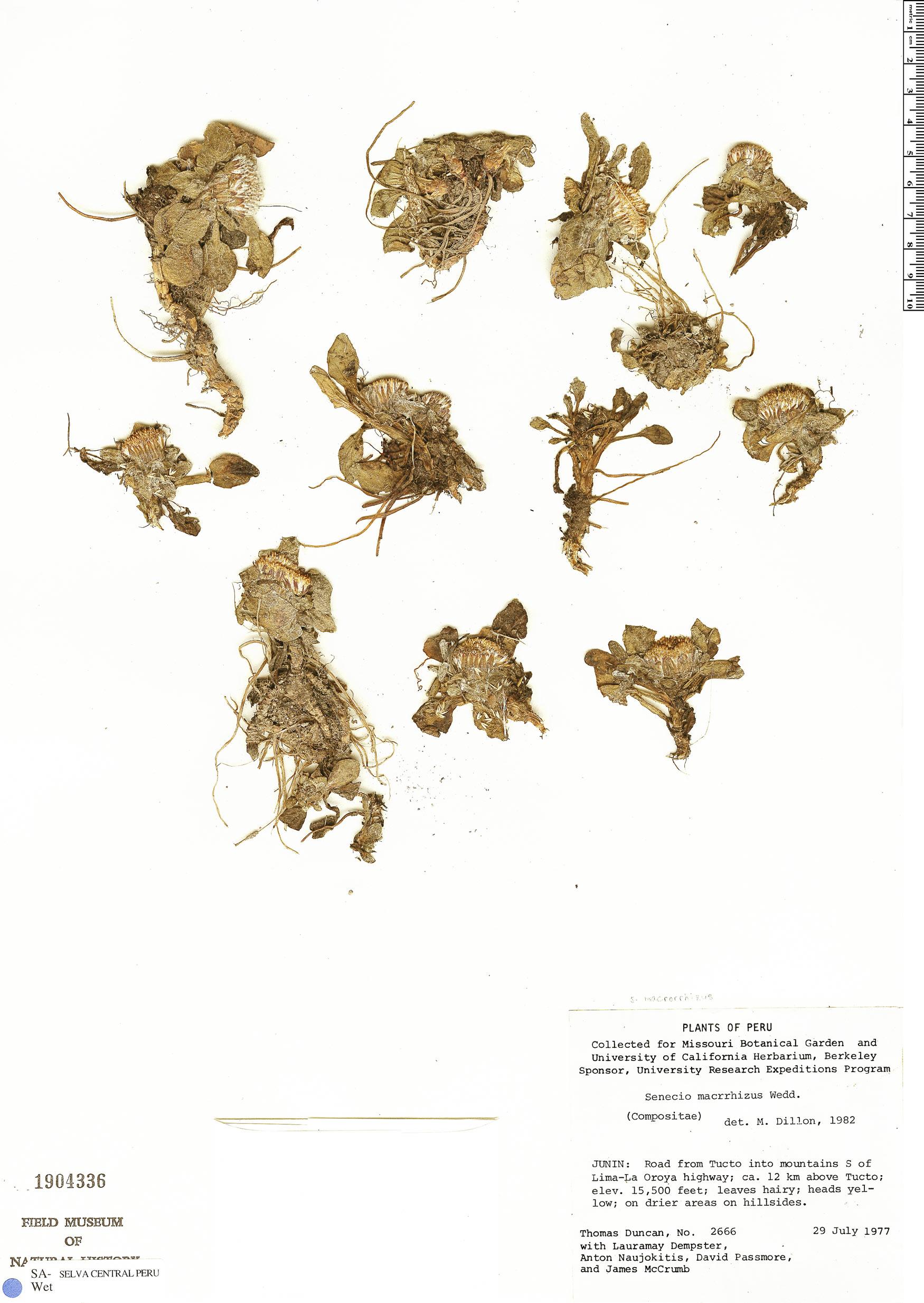 Espécimen: Senecio macrorrhizus