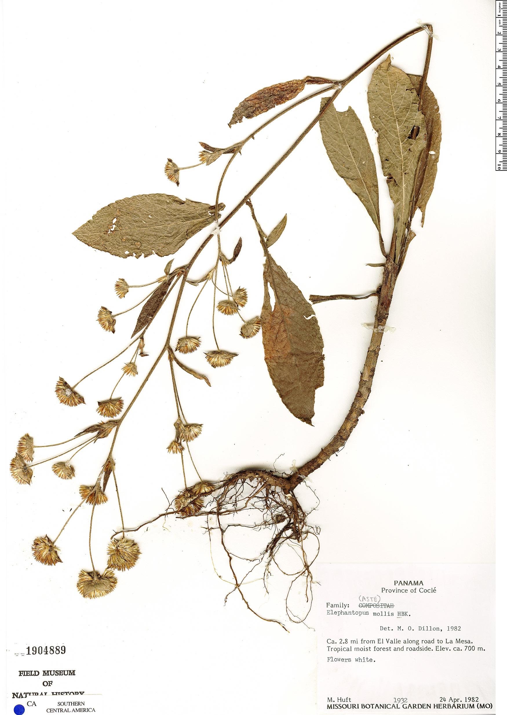 Espécimen: Elephantopus mollis