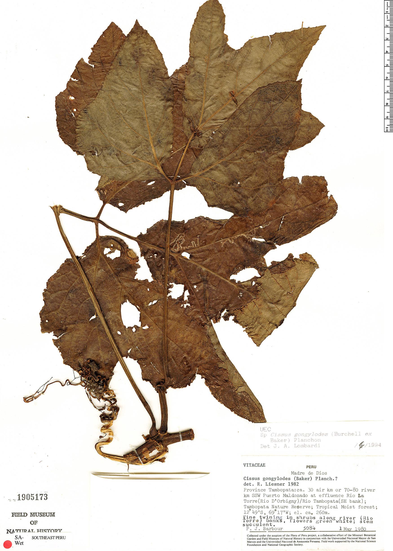 Specimen: Cissus gongylodes