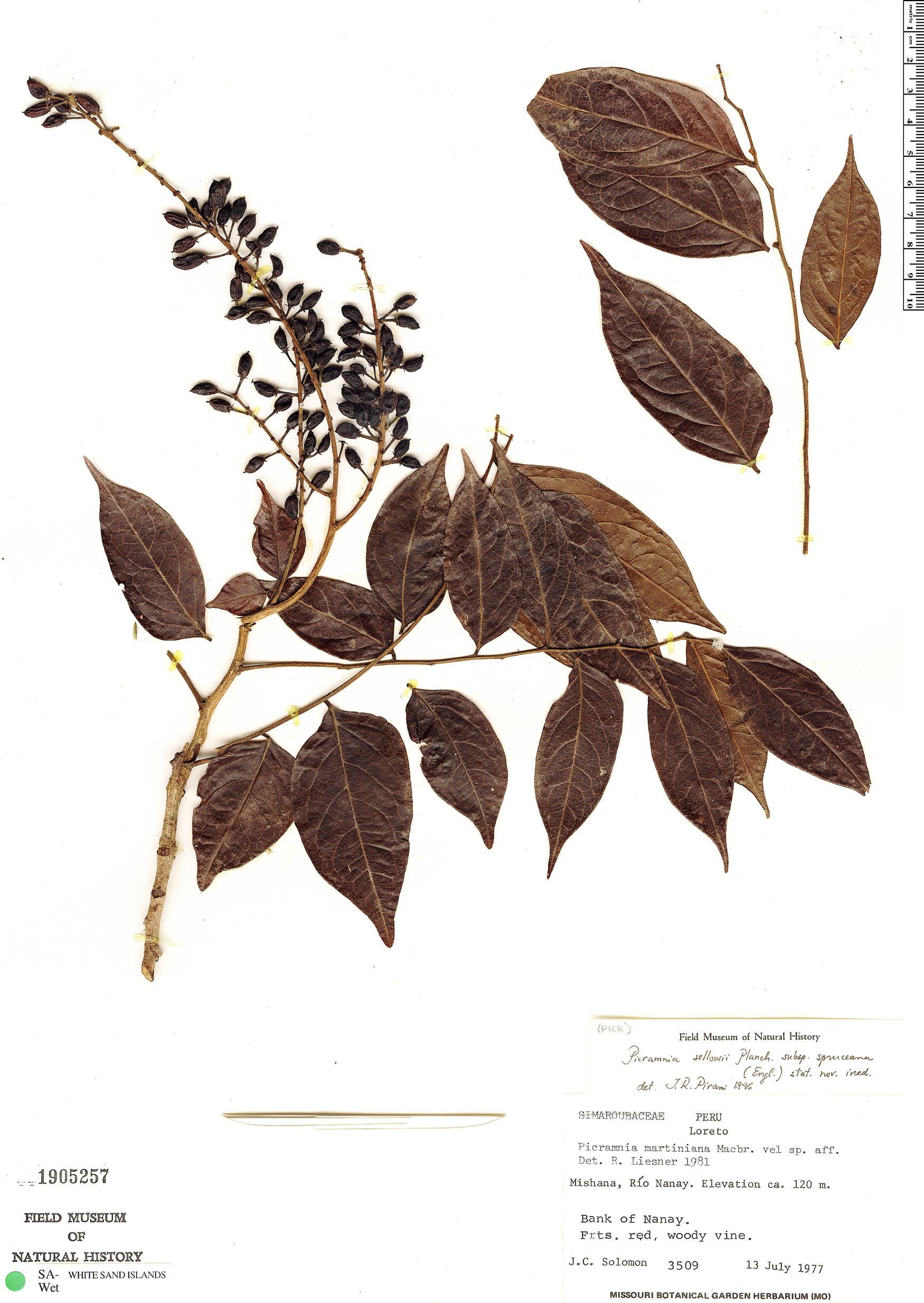 Specimen: Picramnia sellowii