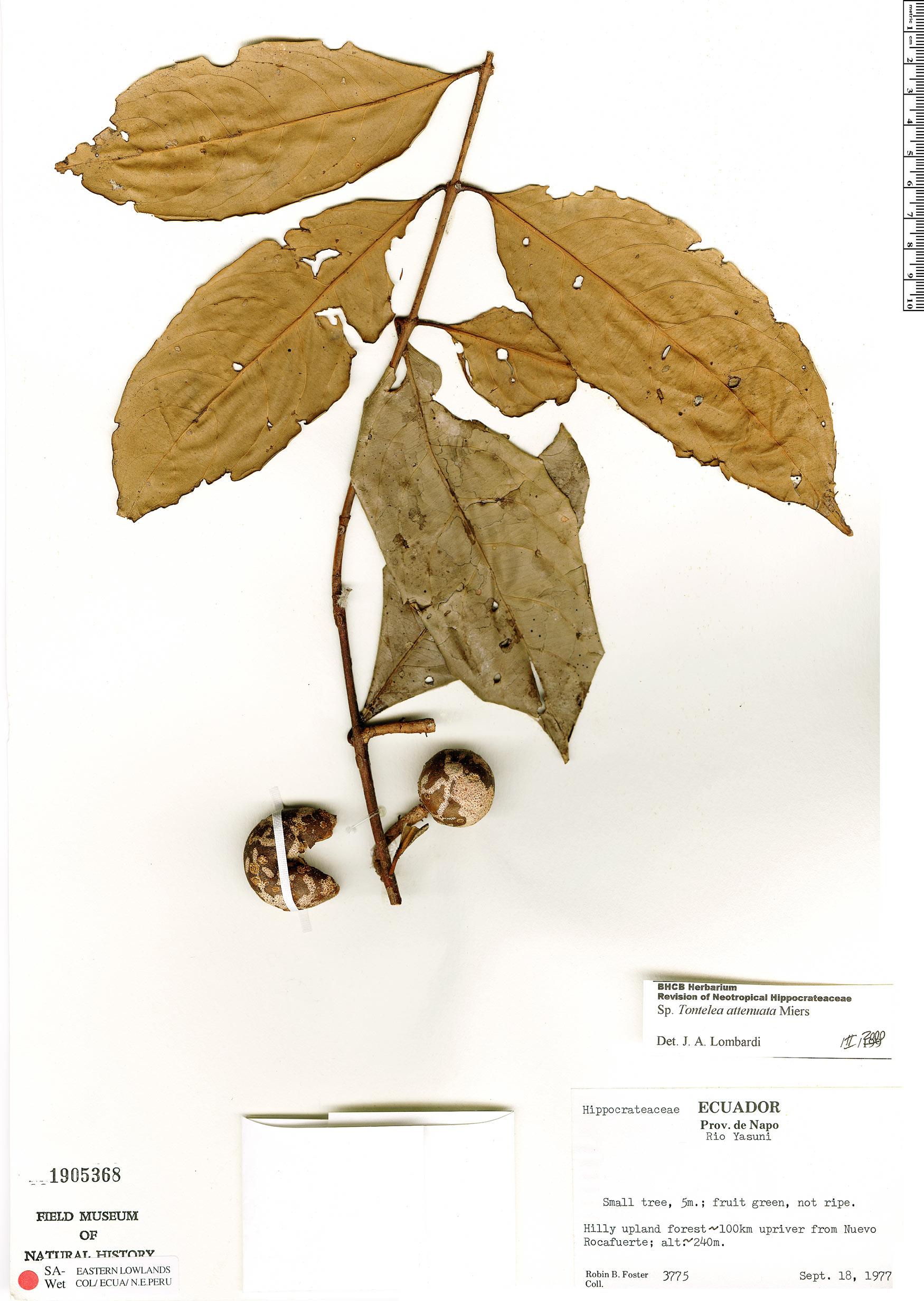 Specimen: Tontelea attenuata