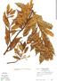 Virola multiflora image