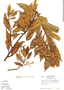 Virola multiflora (Standl.) A. C. Sm., Panama, R. B. Foster 2946, F