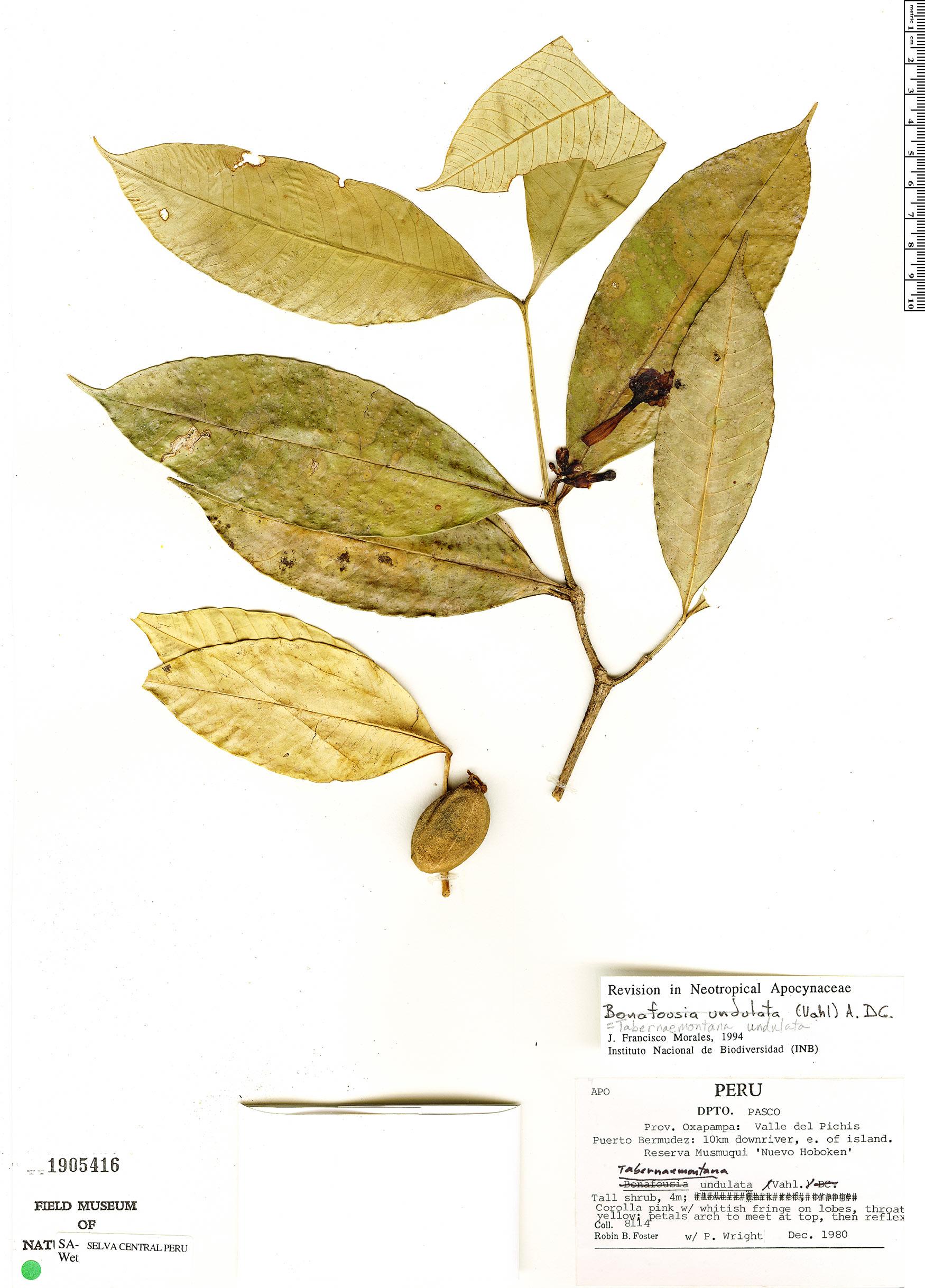 Specimen: Tabernaemontana undulata