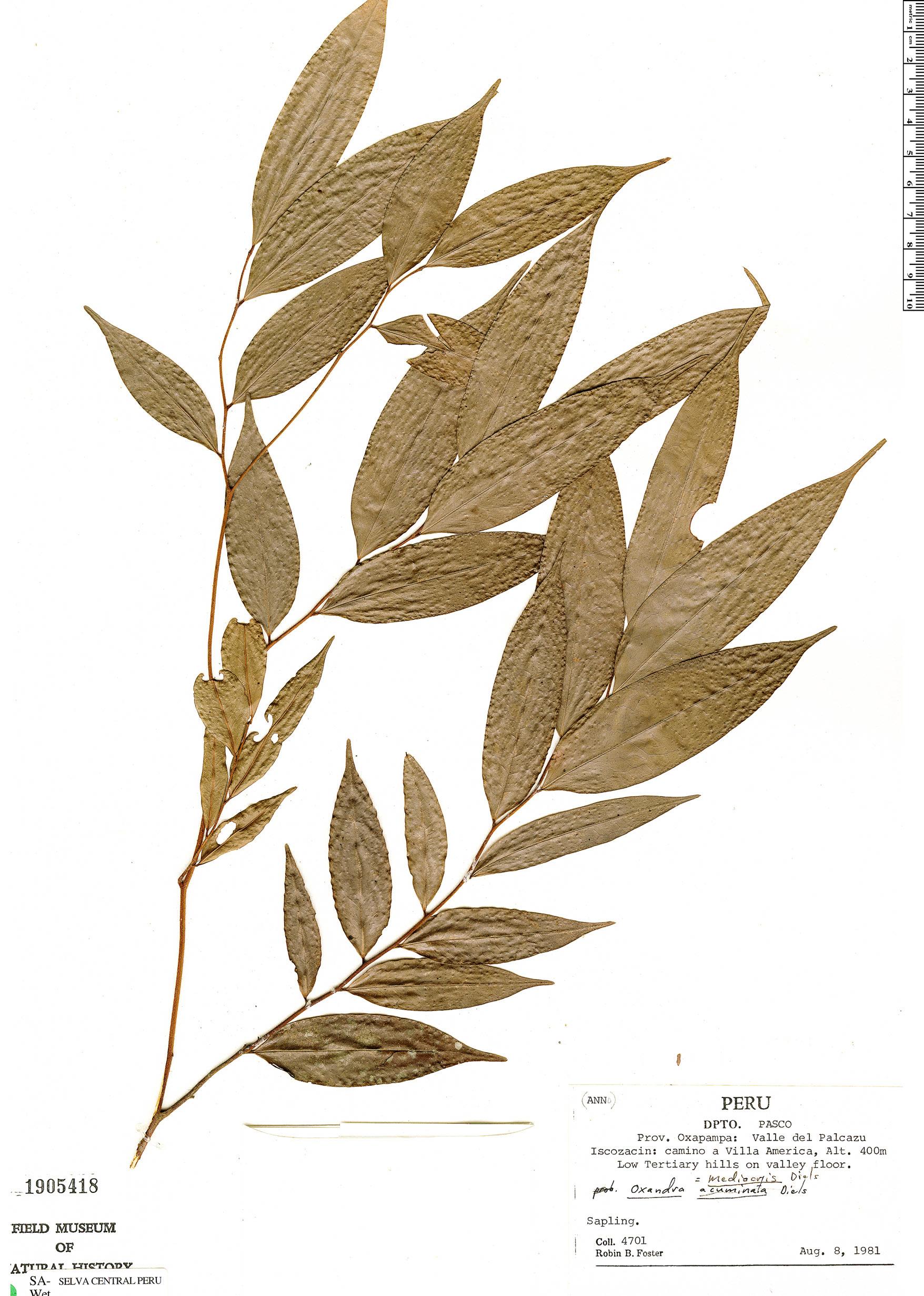 Specimen: Oxandra sphaerocarpa