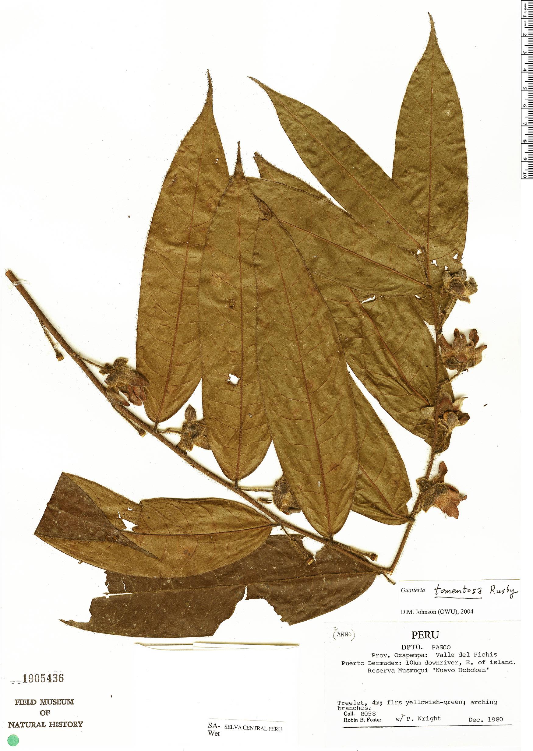 Specimen: Guatteria tomentosa
