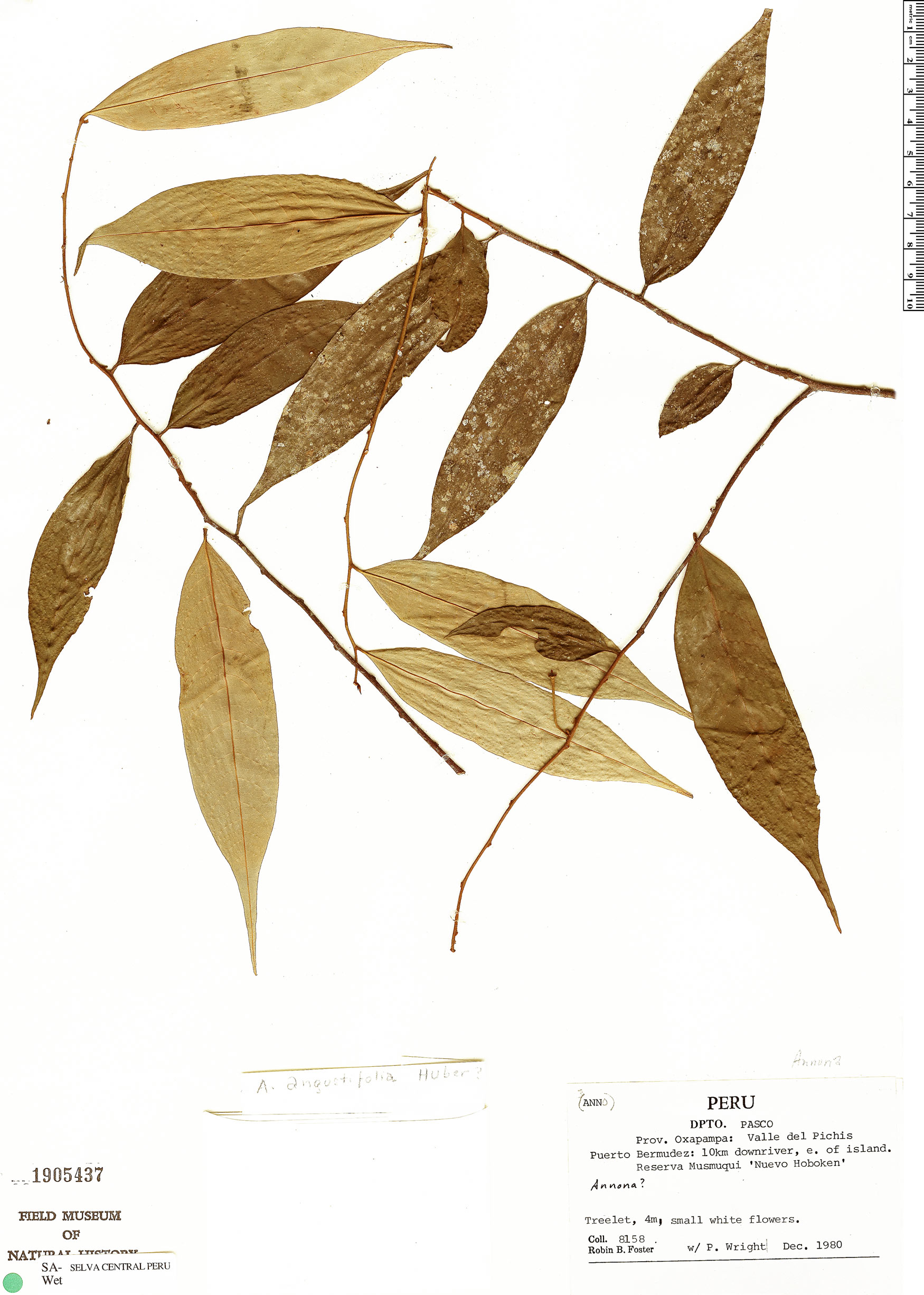 Specimen: Annona angustifolia