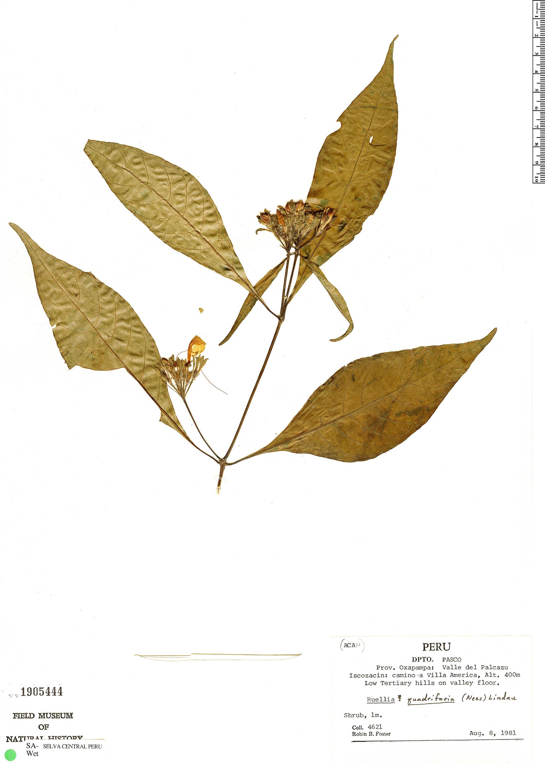 Specimen: Ruellia glischrocalyx