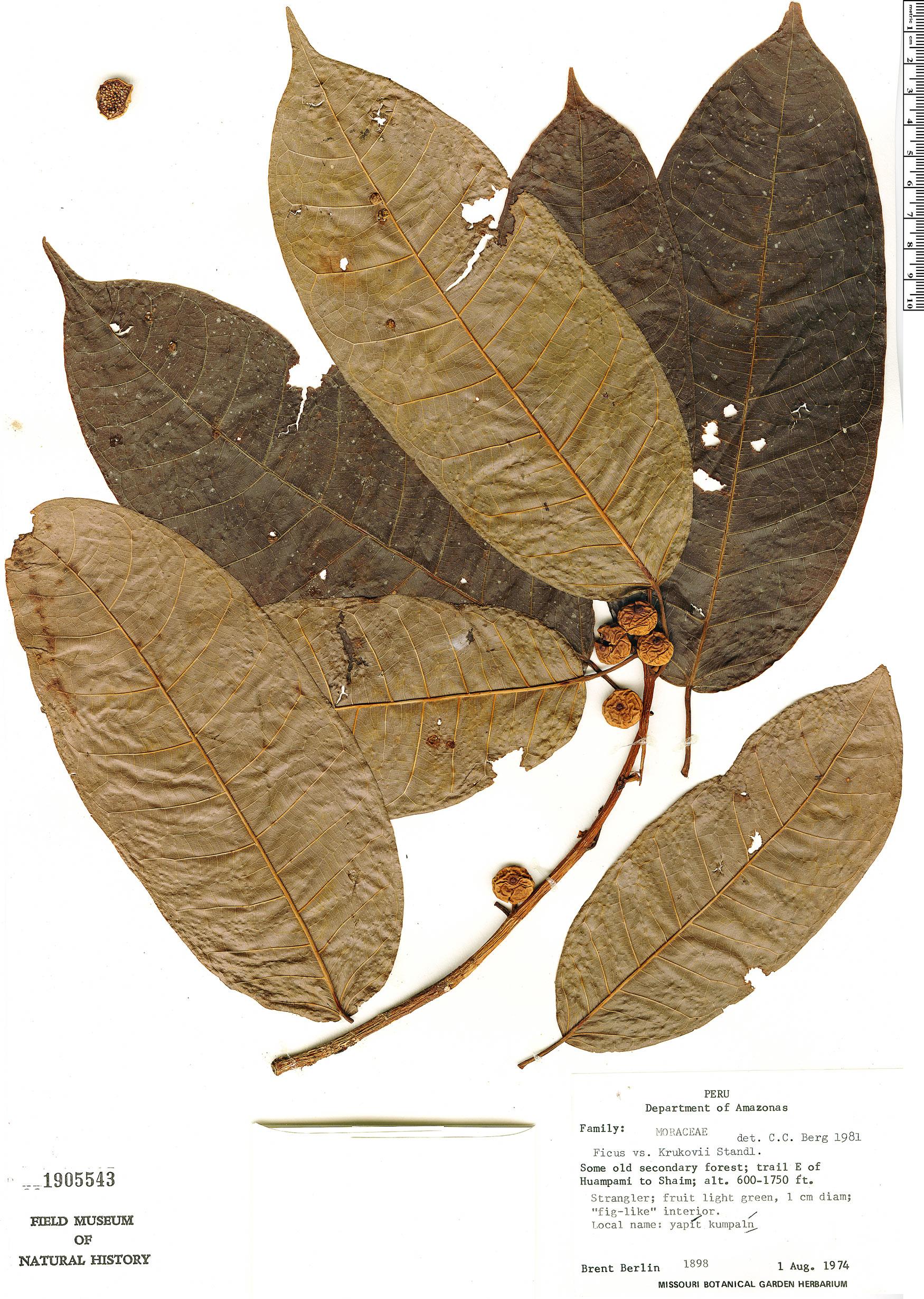 Specimen: Ficus krukovii