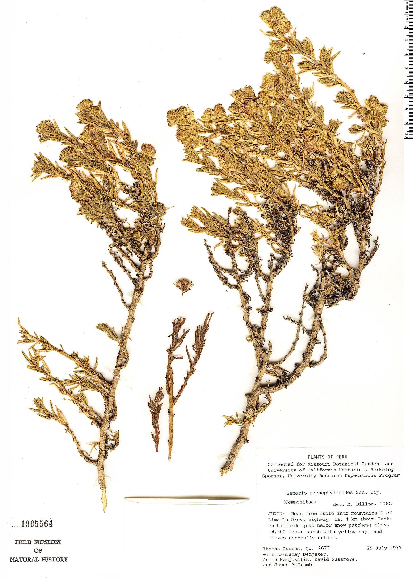 Espécimen: Senecio adenophylloides