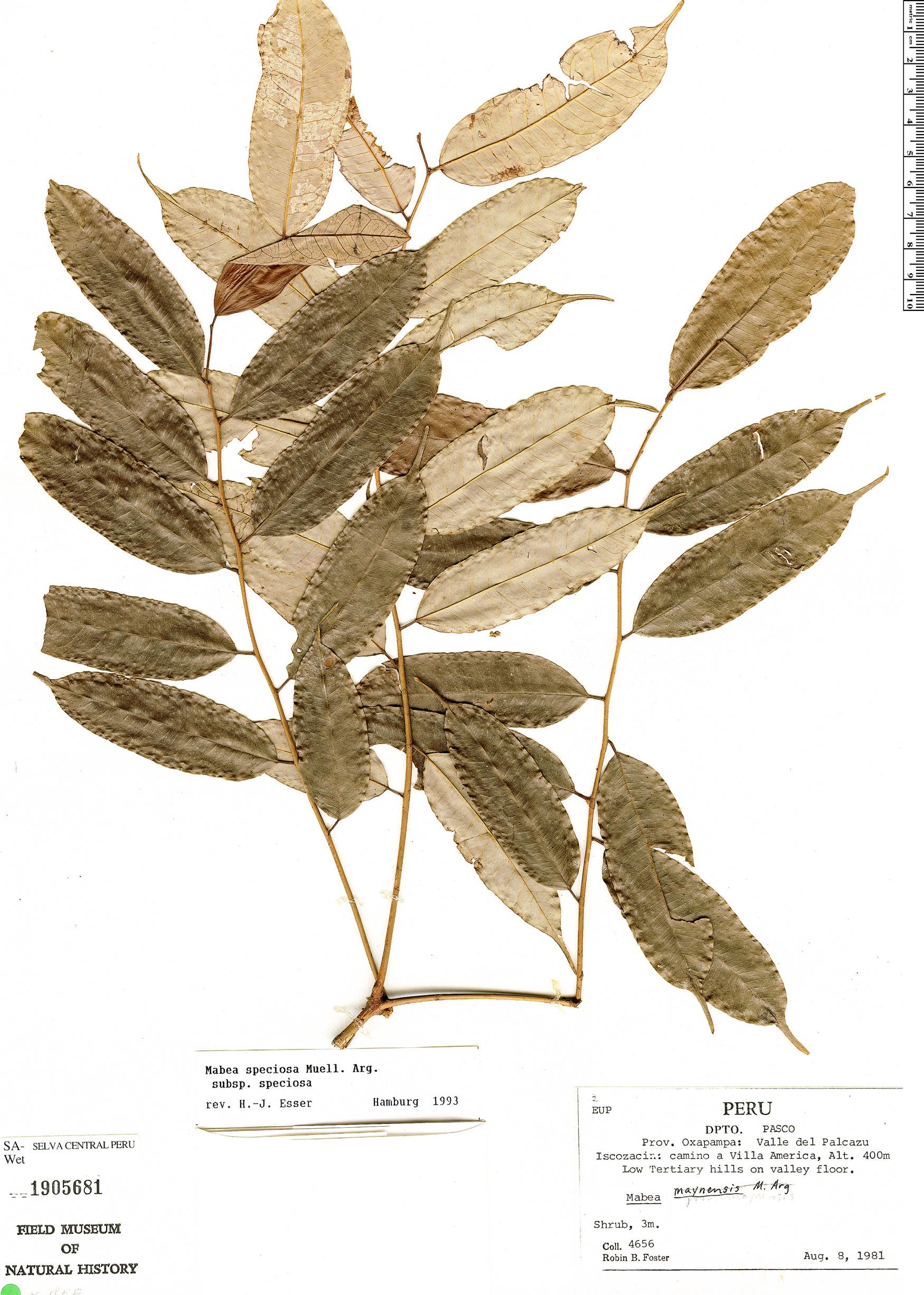 Specimen: Mabea speciosa
