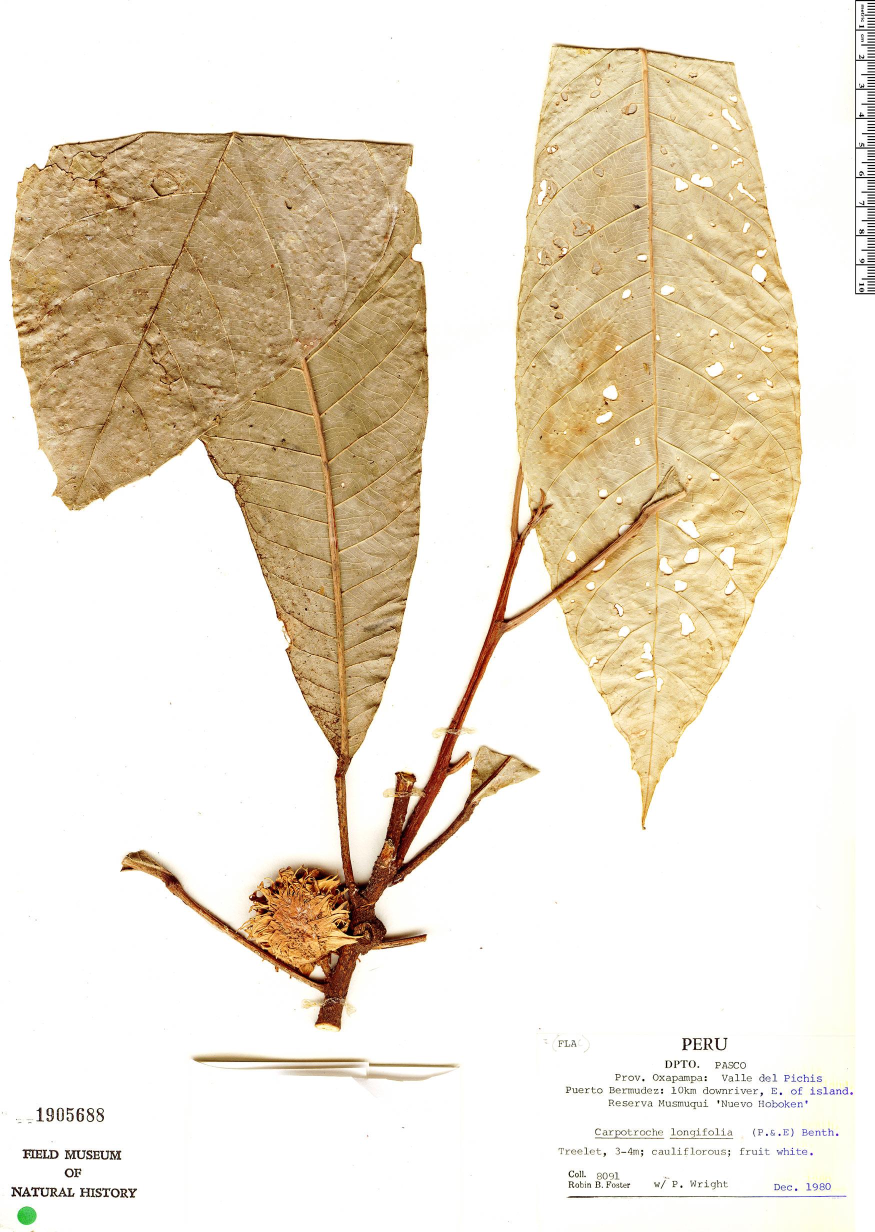Specimen: Carpotroche longifolia