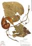 Aristolochia gorgona M. Blanco, Panama, A. H. Gentry 7093, Paratype, F