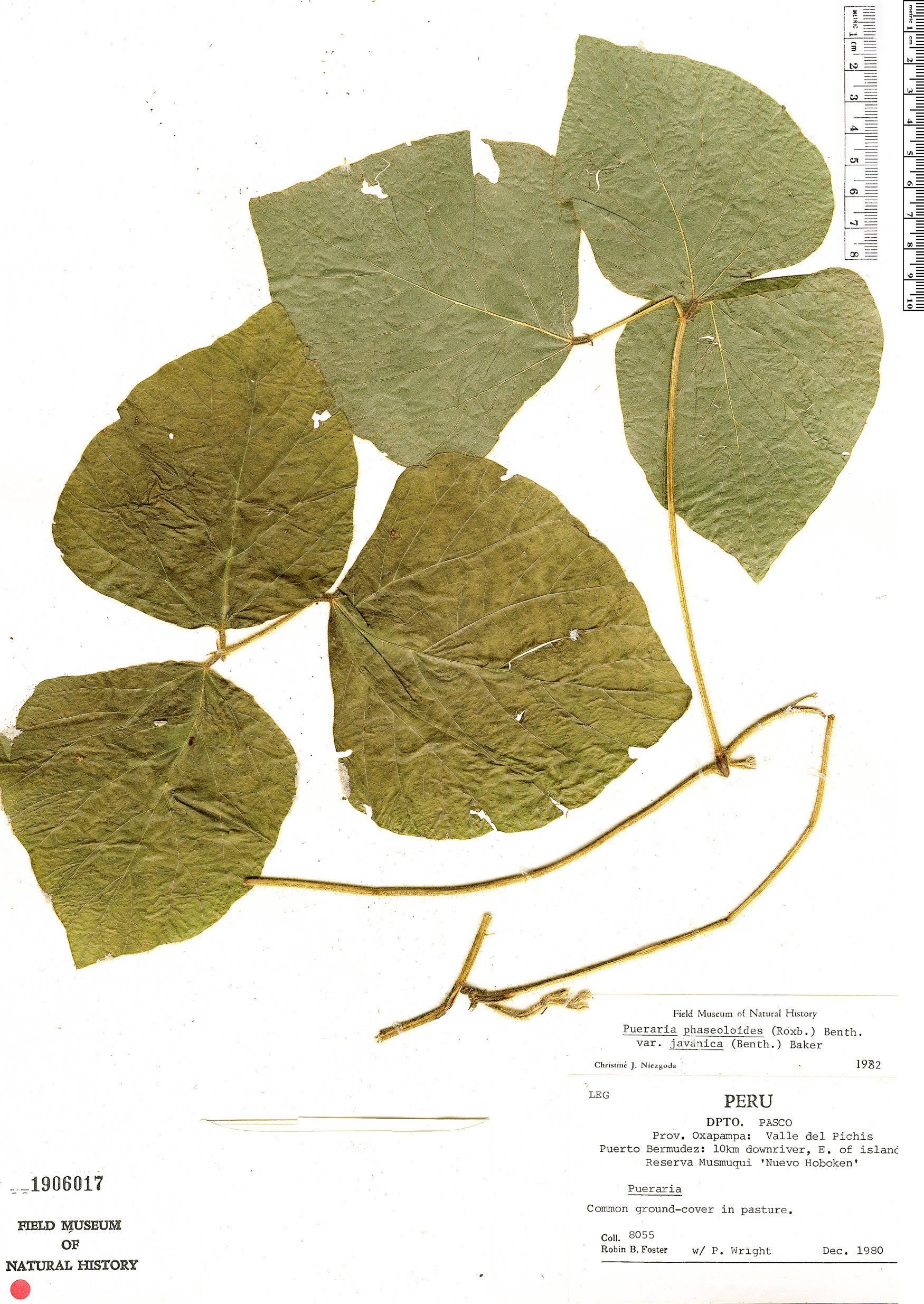 Specimen: Pueraria phaseoloides
