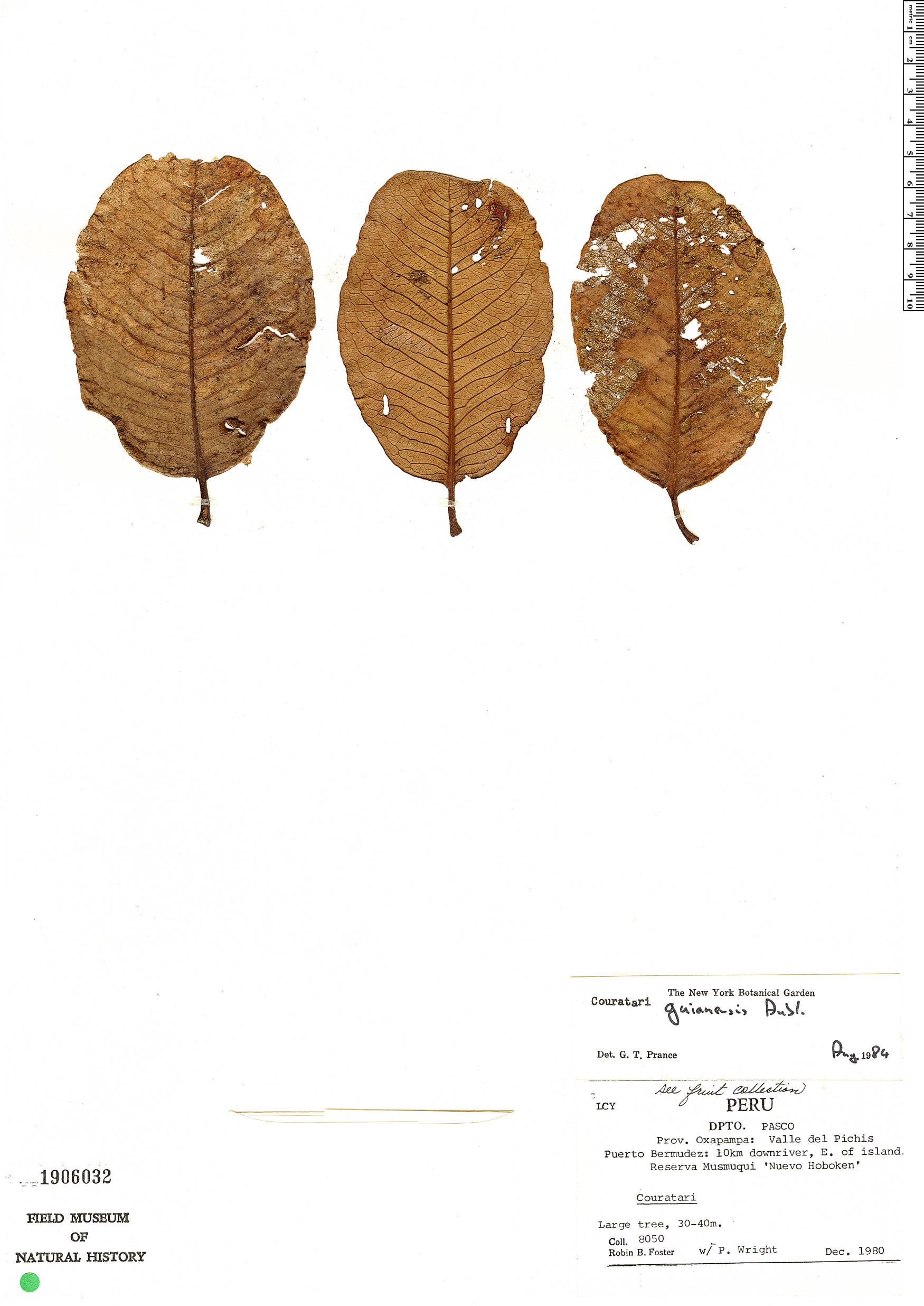 Specimen: Couratari guianensis