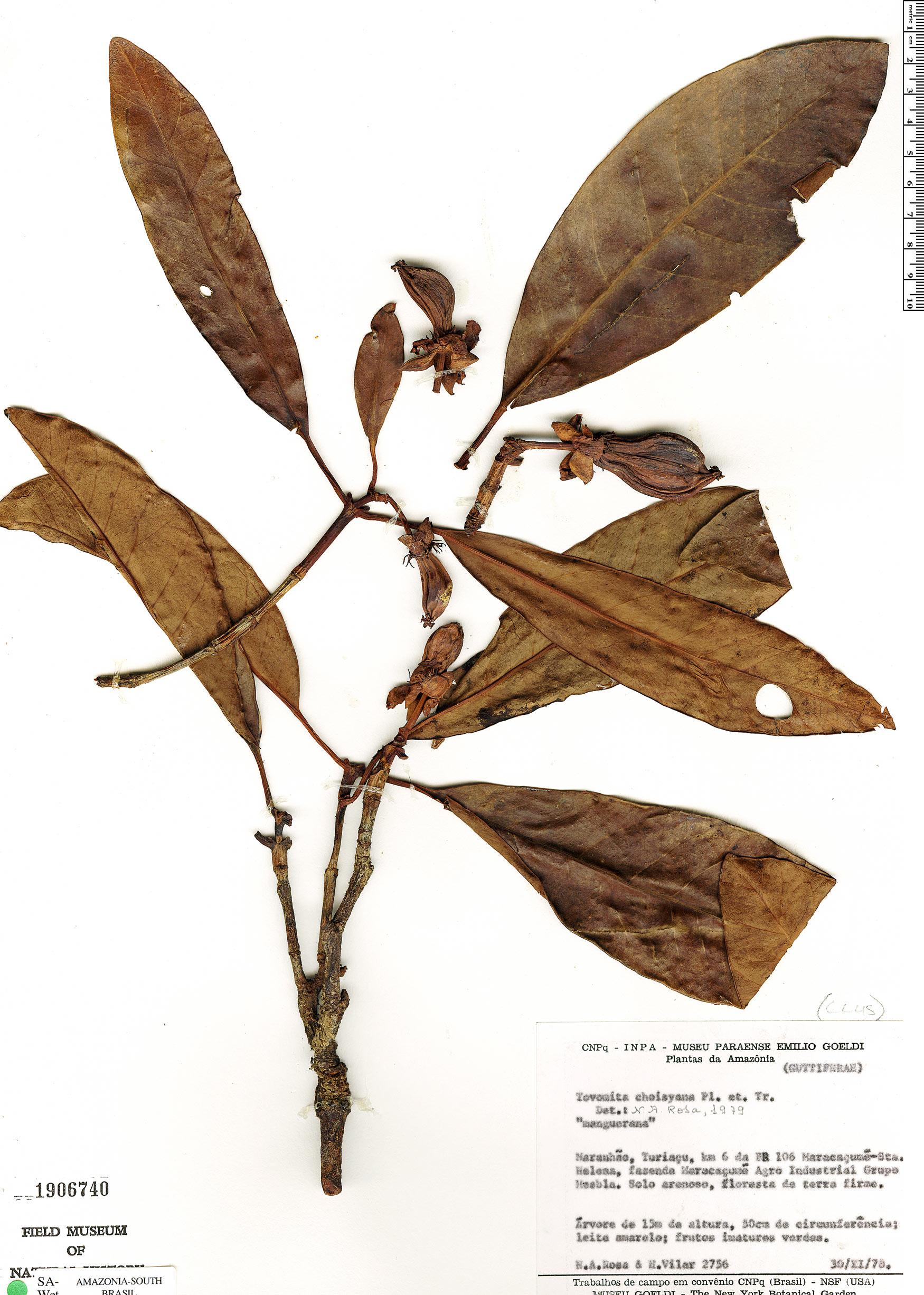 Specimen: Tovomita choisyana